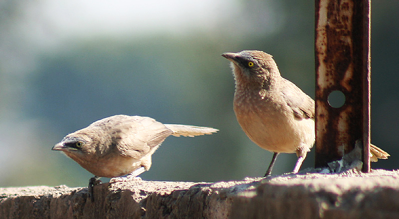 Babblers are highly gregarious birds that live in noisy flocks numbering up to 40 individuals. Photo: J M Garg – CC BY-SA 3.0