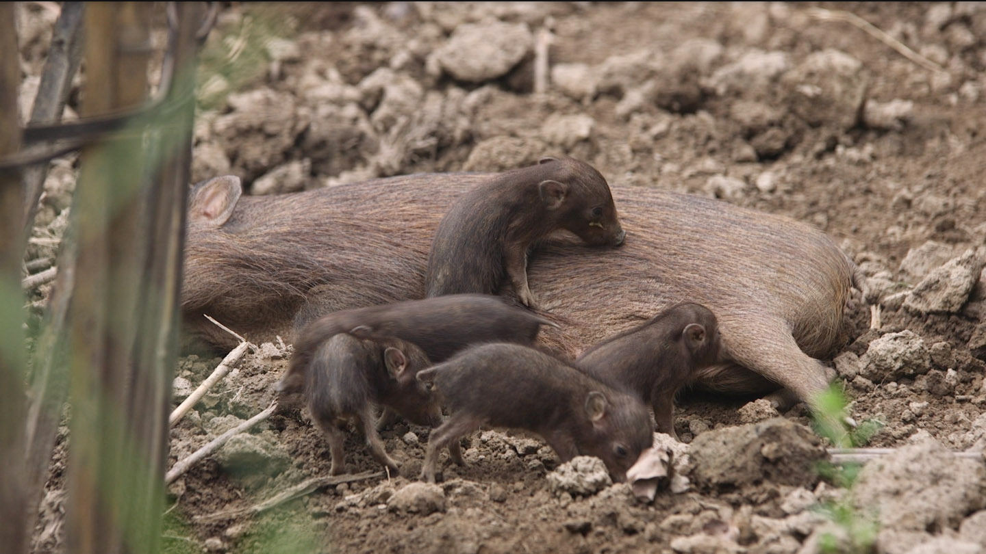 The gestation period for a pygmy hog is about five months. As a pregnant female approaches birthing day, she spends her time wallowing, eating, and building or rebuilding the nest. This behaviour lets the keepers know that the due date is around the corner. Photo (top): Craig Jones, Photo (above left): Parag Deka  A week after their birth mama pig brings the little pigs outside the nest and familiarises them with their environment. Photo (cover and above right): Craig Jones