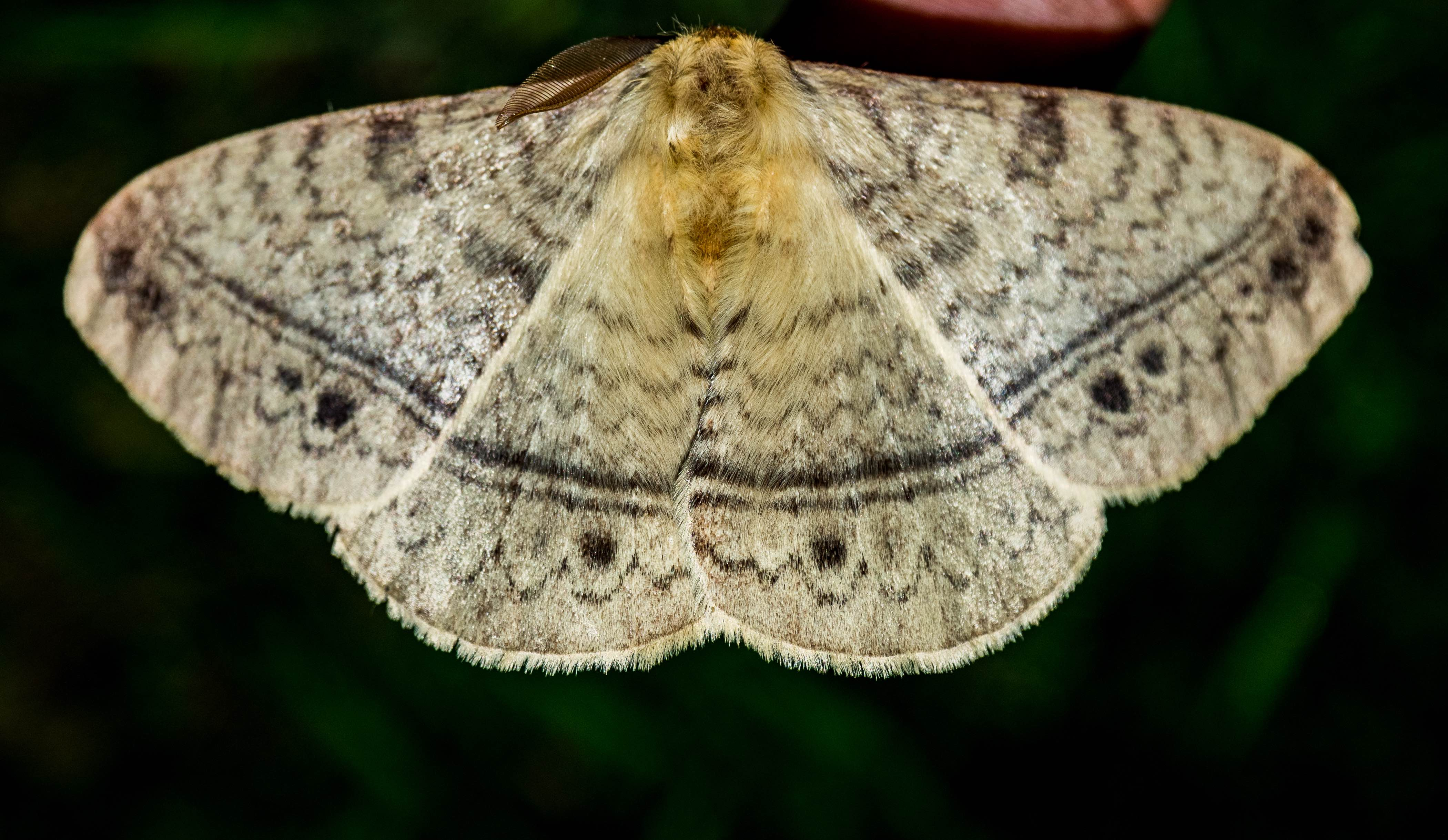 With a wingspan of about 8 cm, the monkey moth is one of the larger moths spotted in and around Delhi. Males have a furry head somewhat like a monkey's, giving the species its name. Photo: Courtesy Conservation Education Centre
