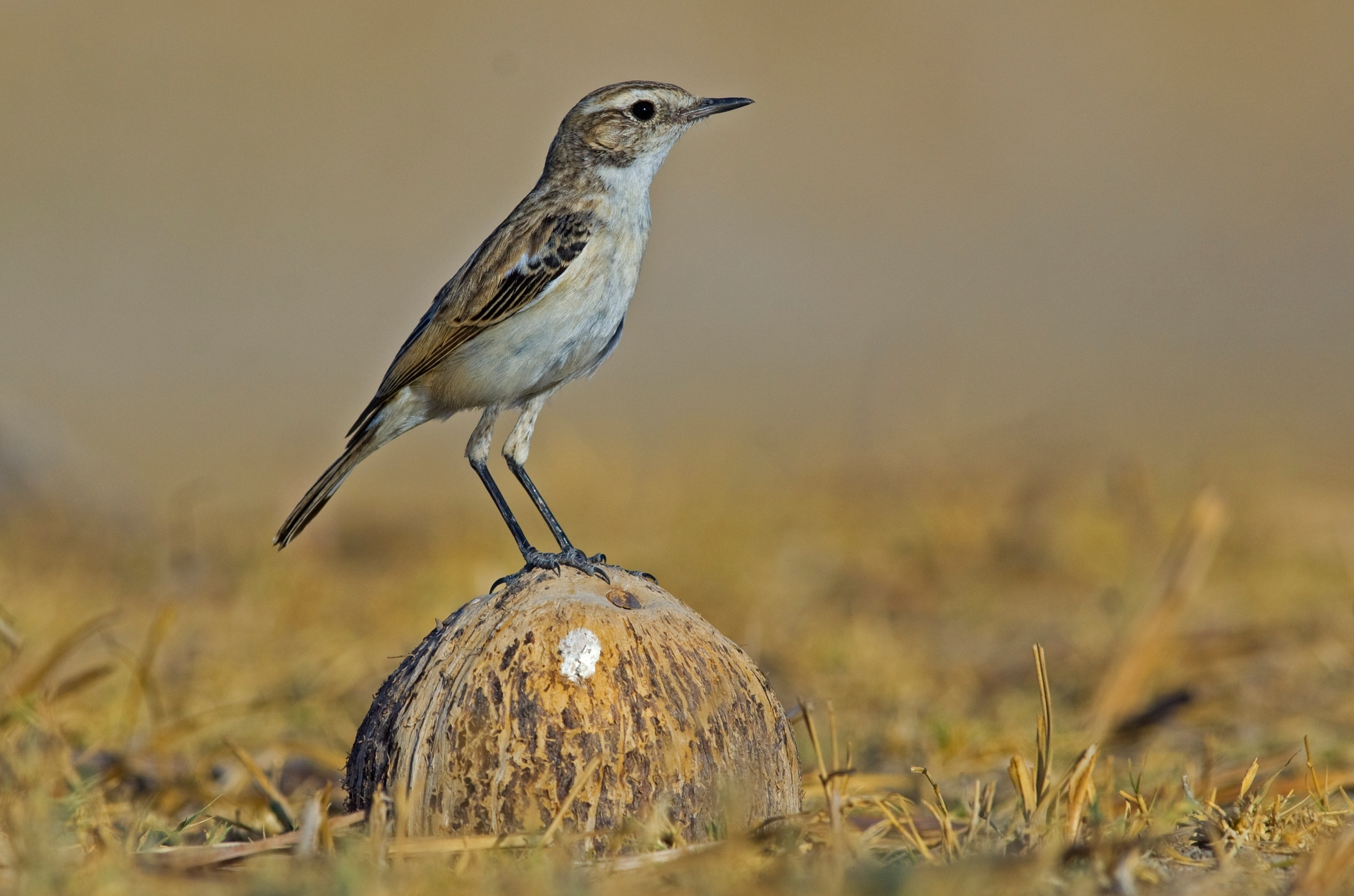 The white-browed bushchat is mostly seen in sandy, desert plains. Its scientific name is Saxicola macrorhyncha, where saxicola literally means 'stone-dweller'. Photo: Dhritiman Mukherjee </br> The bird gets its name from its very noticeable white eyebrows. Cover Photo: Devesh Gadhavi