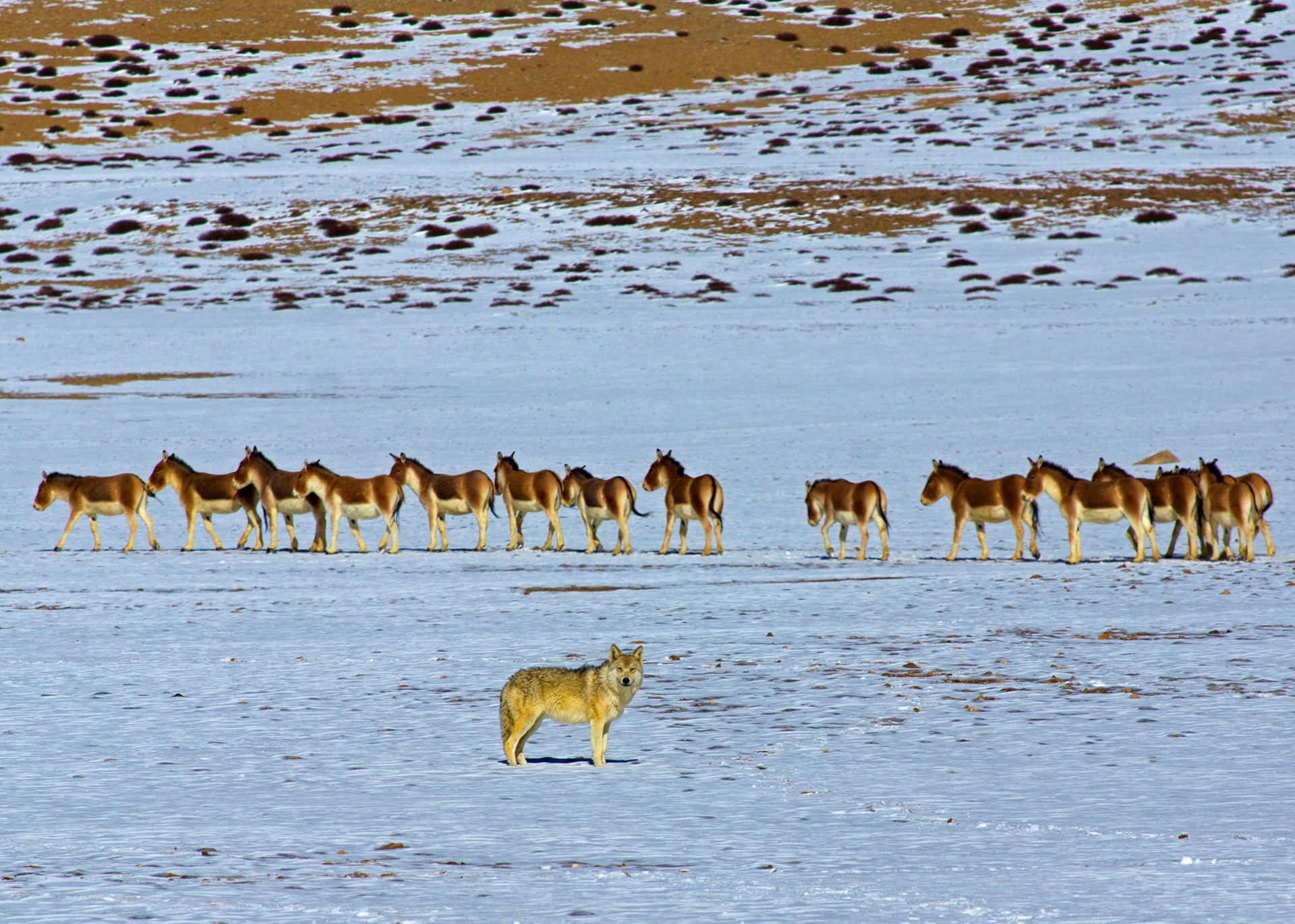Wolves are the principal predators in the region and packs have been known to hunt kiang, the largest members of the ass family, which is native to the Changthang Plateau. Photo: Dhritiman Mukherjee