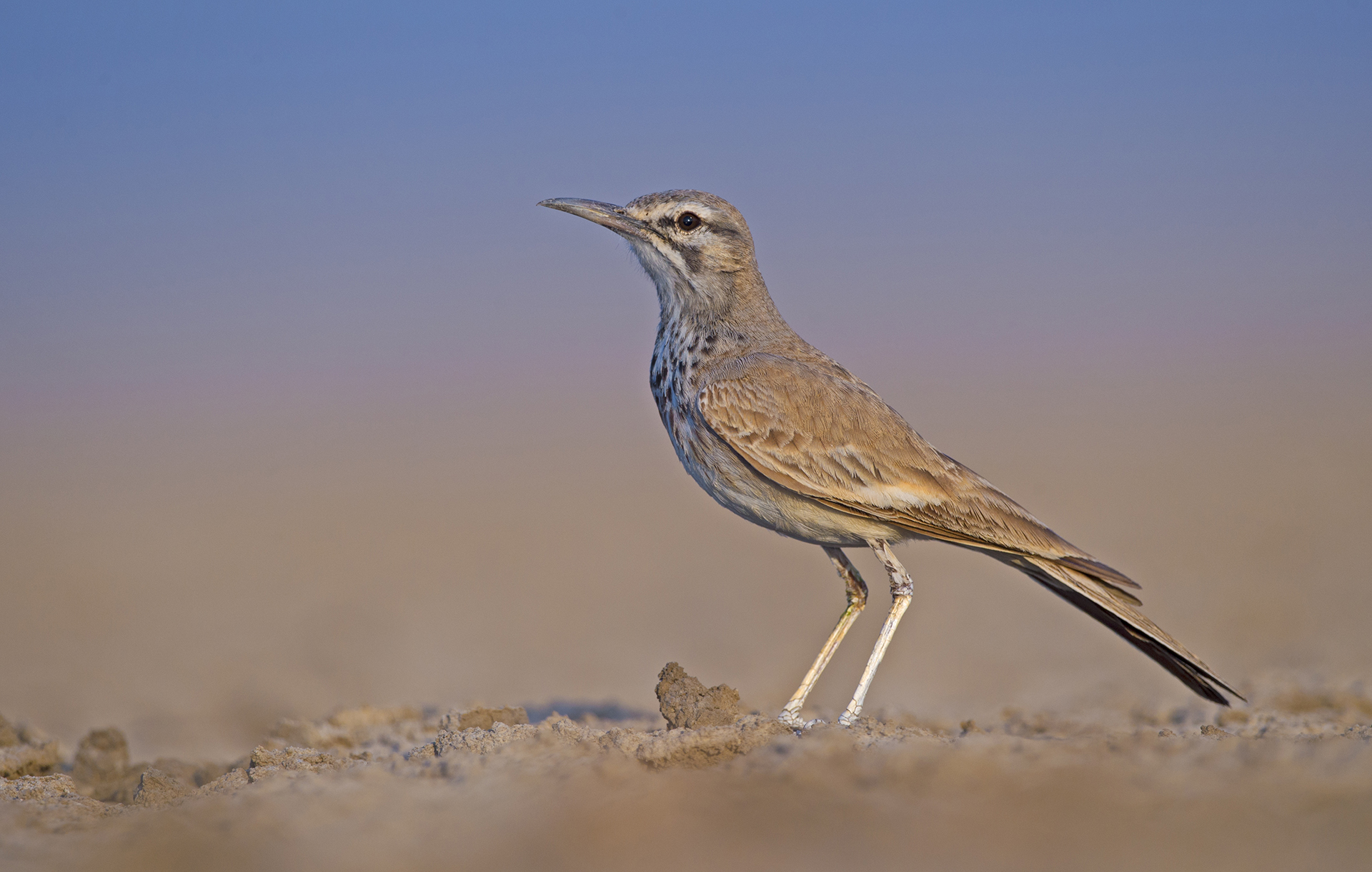 Adaptations such as its long legs and a white belly that reflects heat help the lark survive the harsh climate of the arid regions it inhabits.