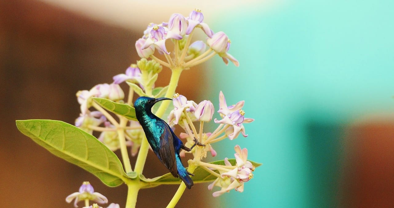 A male purple sunbird on Calotropis flowers. When sunlight falls on his body, it turns into a stunning blue-green. Photo: Indrajit Ghorpade