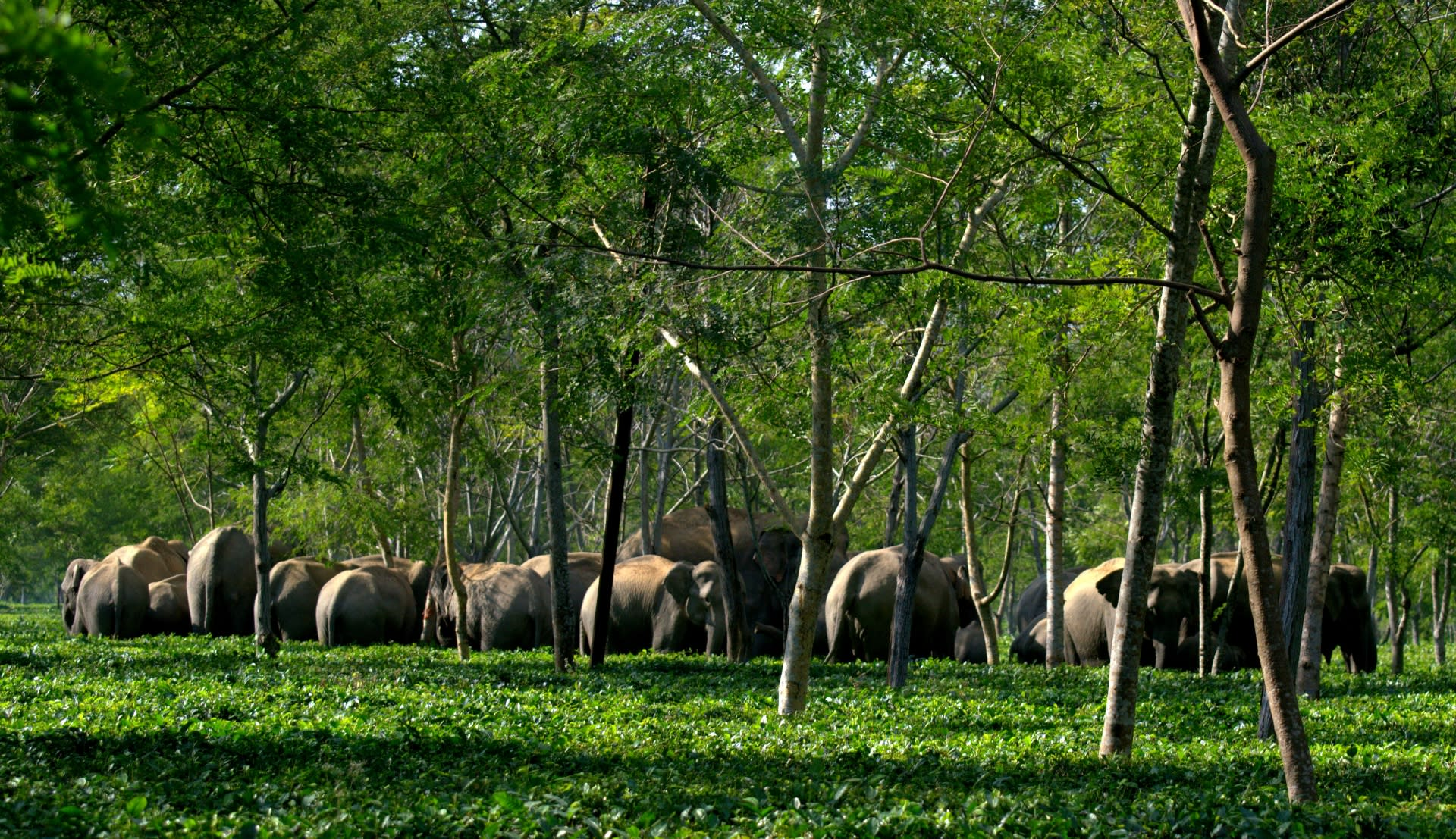 A herd of wild elephants roams inside Adabarie Tea Estate in Assam's Sonitpur district. Photo: Saurav Borkataky