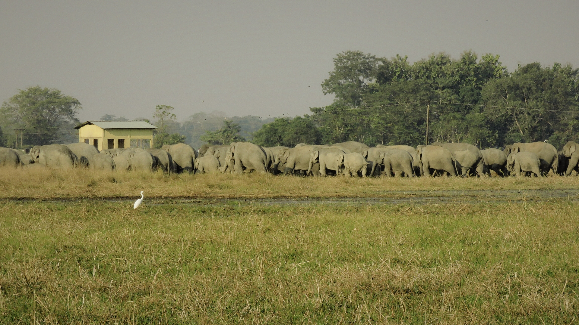 An elephant herd walks through a village in Assam's Sonitpur district. According to news reports, since the early 2000s an estimated 60 per cent of elephants in and around the district have died, many from intentional poisoning. 