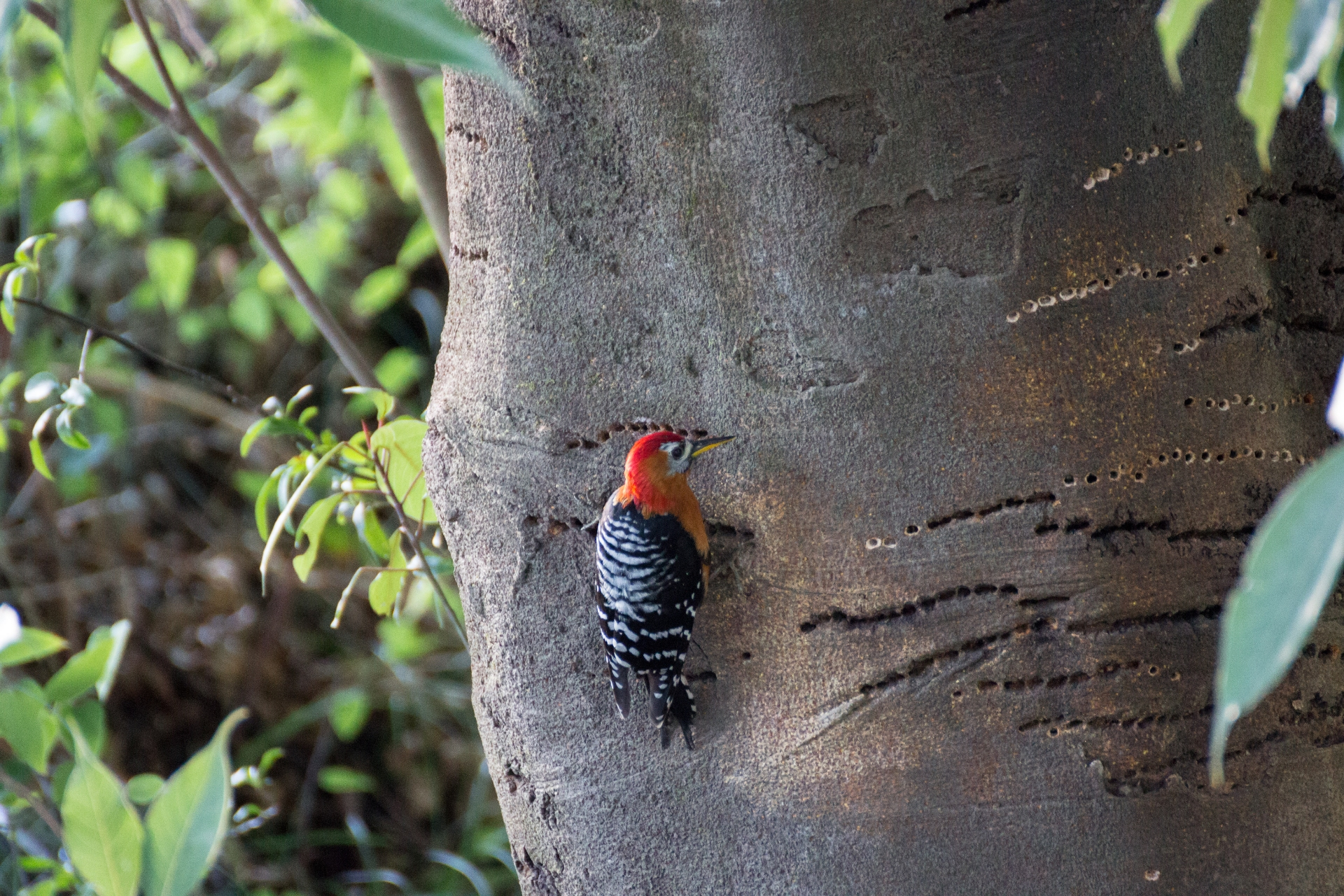 A male rufous-bellied woodpecker diligently drills sap wells in a typical straight line formation. Photo: Tarun Menon </br> A female rufous-bellied woodpecker can be identified by its black crown and the absence of the bright red on its head.