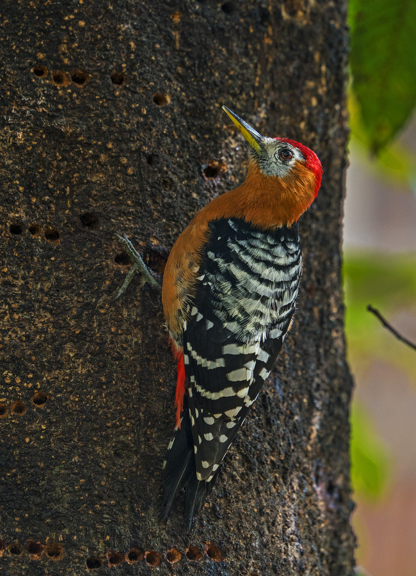 Rufous-bellied woodpeckers have narrow, pointed bills that are coloured grey and yellow. Males are easily recognised because of their red crown. Photo: Dhritiman Mukherjee
