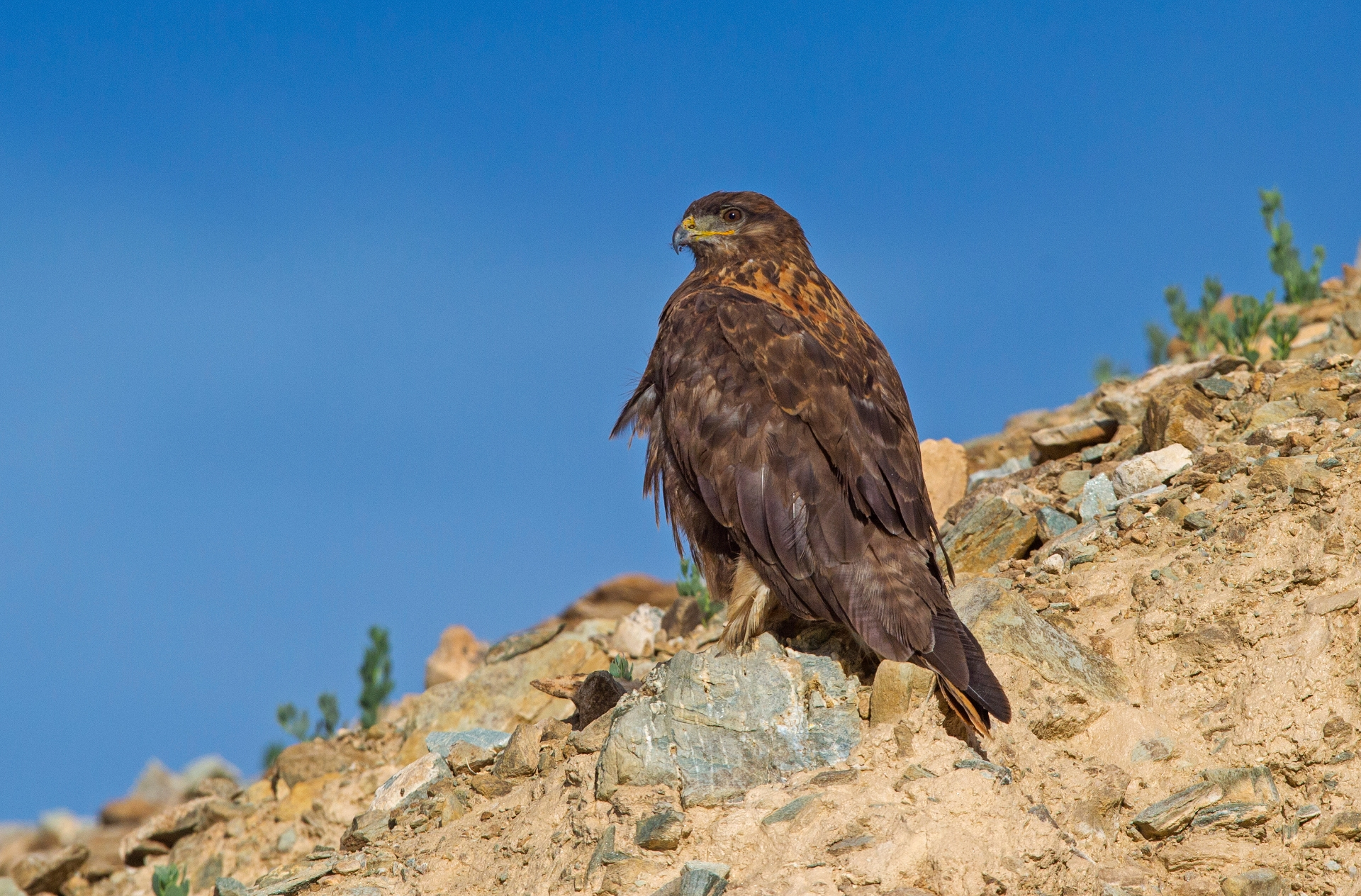 An upland buzzard looks for prey from a vantage point on the sheer hilly terrain of Ladakh. It mostly lives around large expansive open spaces. Photo: Dhritiman Mukherjee  The upland buzzard is largely a brown raptor, until it soars and reveals white patches on its wings. Cover Photo: Surya Ramachandran