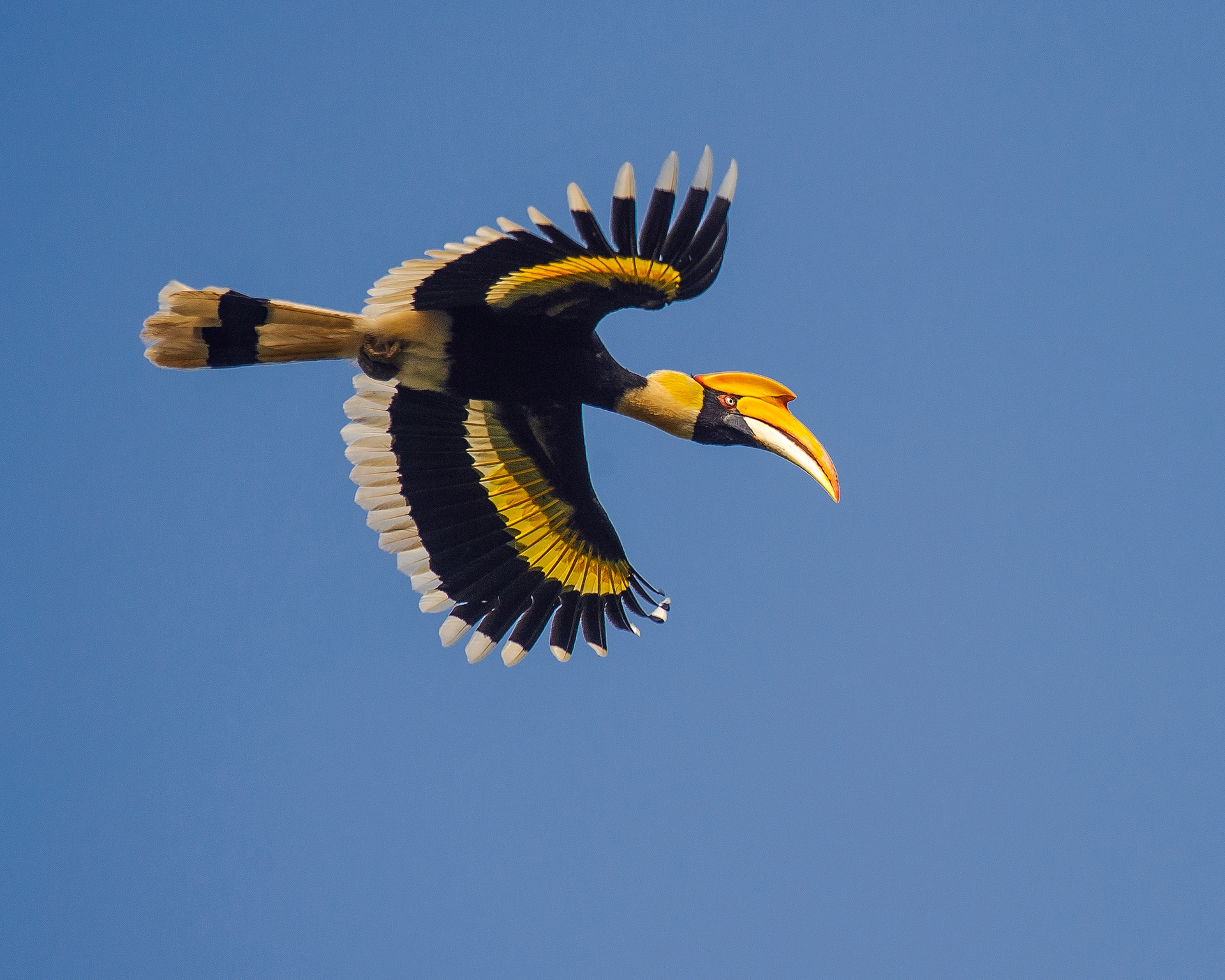 The great hornbill has a spectacular 5-foot wingspan, and often lands with a heavy 'whoosh' on tree branches, earning it its local name Malamuzhakki Vezhambal in Kerala, meaning mountain echo. Photo: Udayan Borthakur
