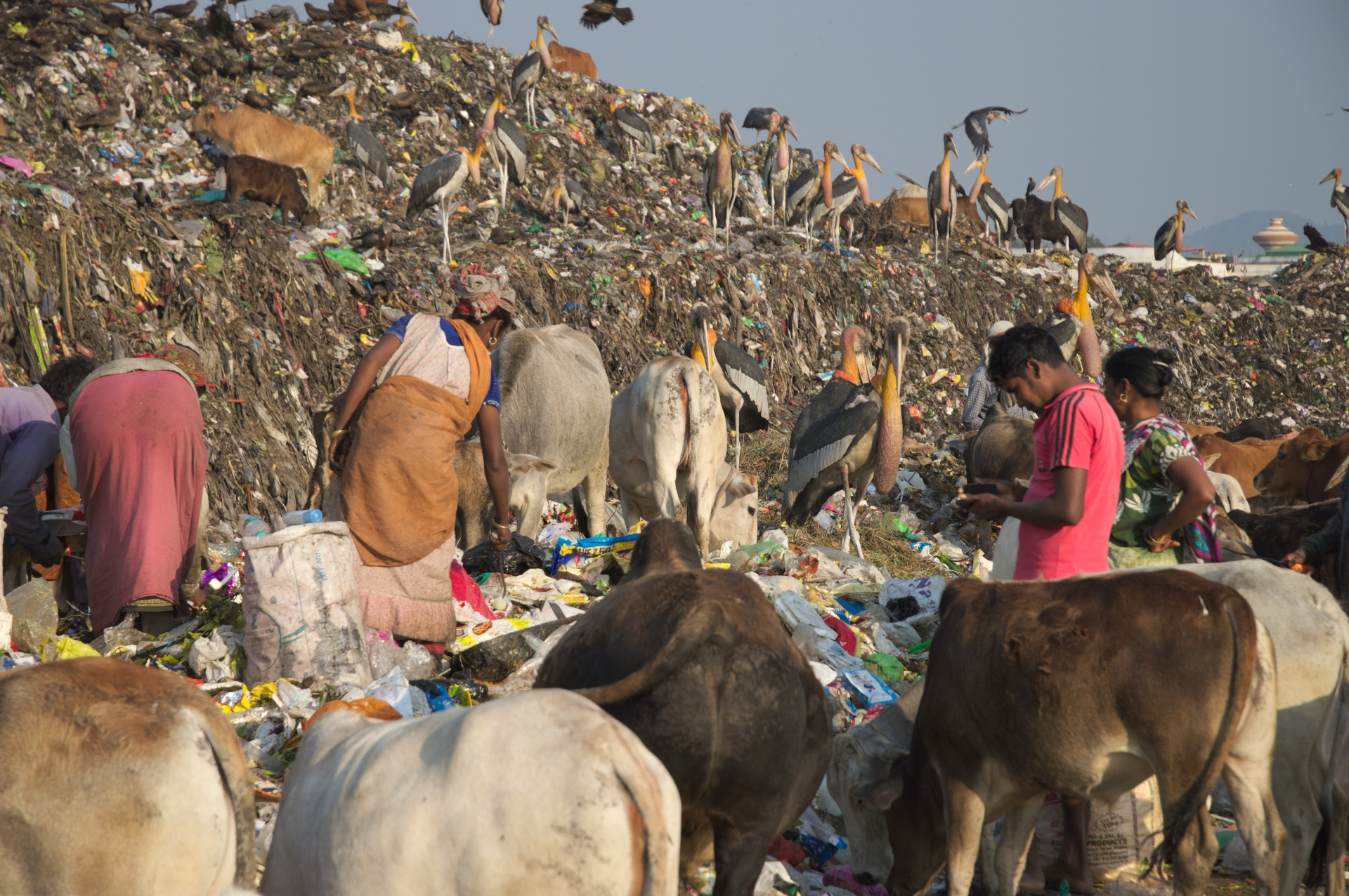 Greater adjutant storks work shoulder-to-shoulder with ragpickers at the landfill site. The storks pick out food, while ragpickers search for plastic and other recyclables in the mixed waste. Photo: Soumya Prasad