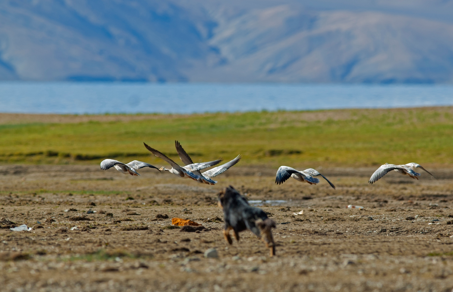 Dogs attacking wildlife has now become a common problem across the Trans-Himalayas. Here, a dog chases a flock of bar-headed geese in Changthang. Photo: Dhritiman Mukherjee