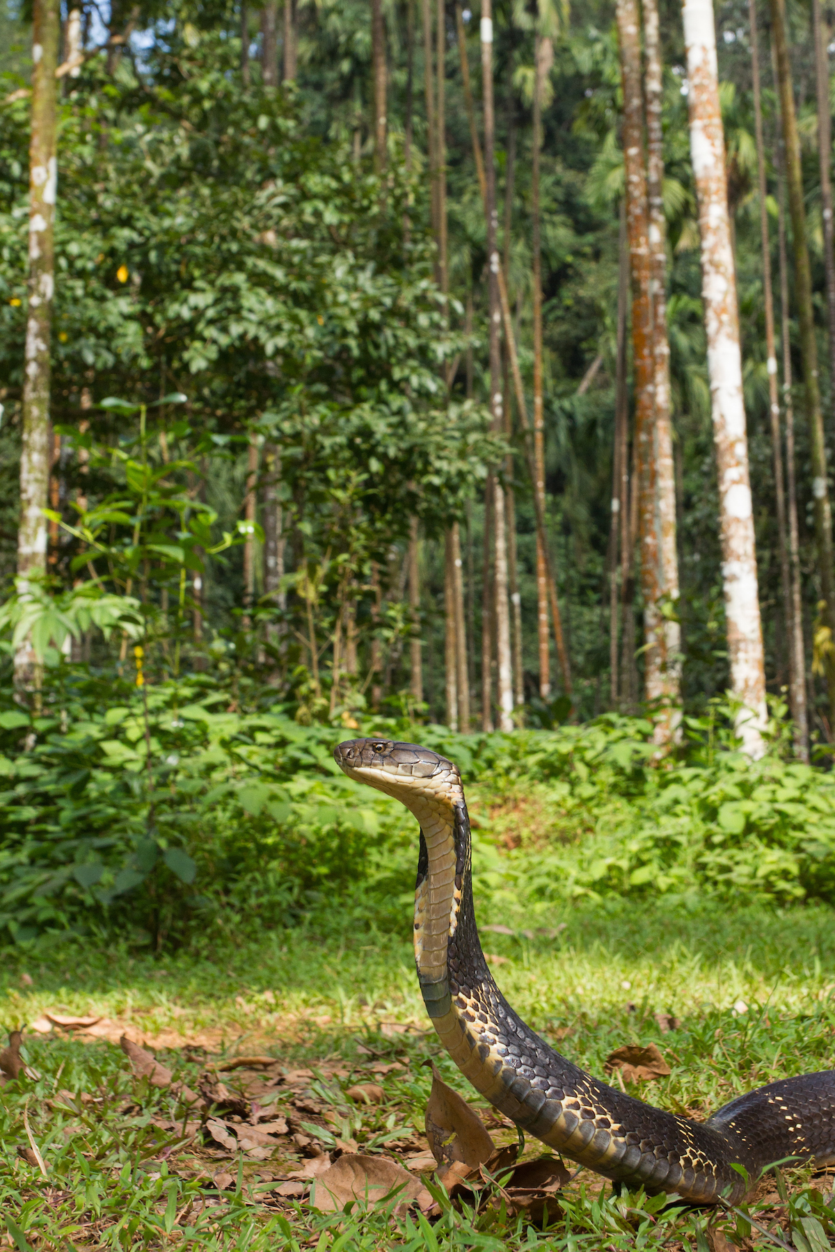 Agumbe is famous for its king cobras. When angry they can raise themselves up to six feet. Their forked tongue is capable of delivering a large volume of a potent neurotoxin that can kill a large animal within minutes. Photo: Shreeram MV