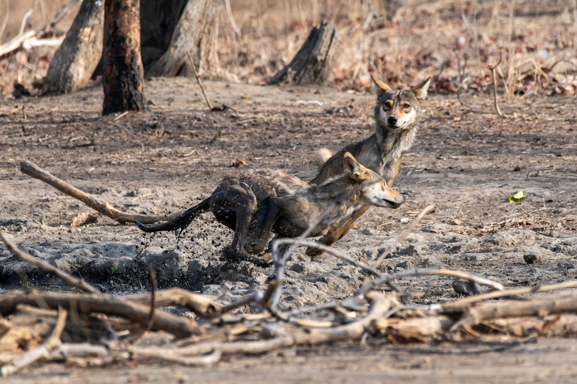 The Indian grey wolf has been persecuted for over two centuries. In British India, they were considered vermin, and killed extensively. Photo: Chaithanya Krishnan/Shutterstock