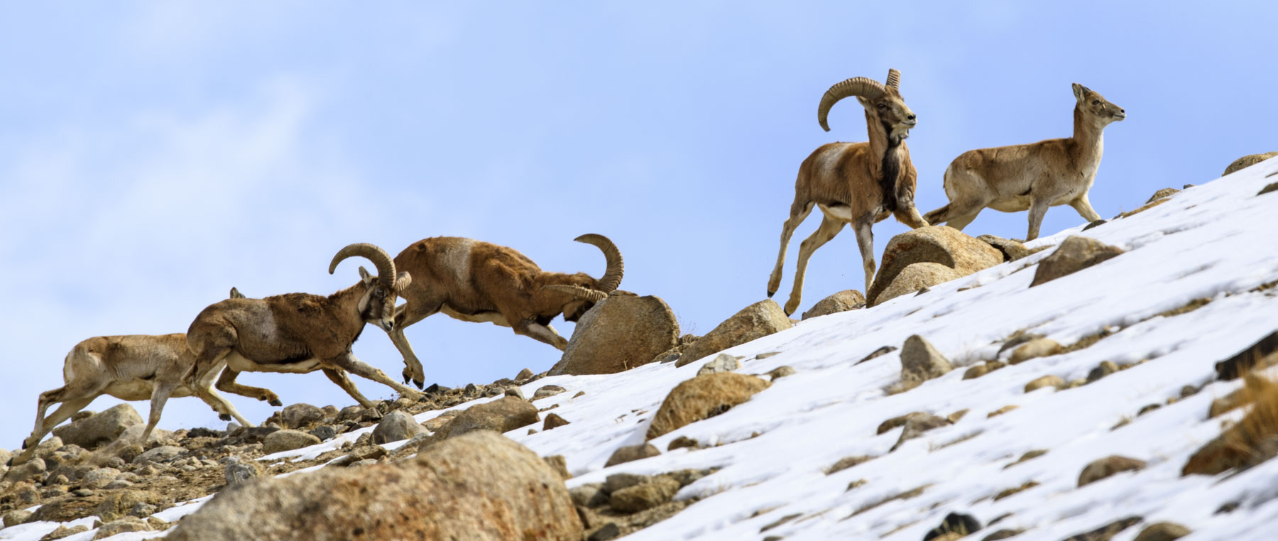 The Ladakh urial or shapu as it is locally known, prefers areas with relatively gentle slopes along river valleys, which are often close to human habitation. Photo: Nick Garbutt