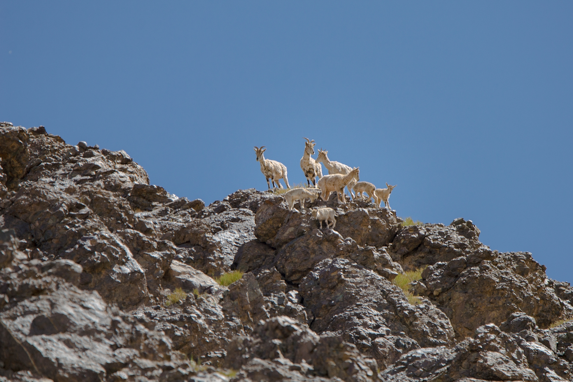 More closely related to goats than sheep, the blue sheep or bharal, feeds primarily on mountain grass. Photo: Saurabh Sawant