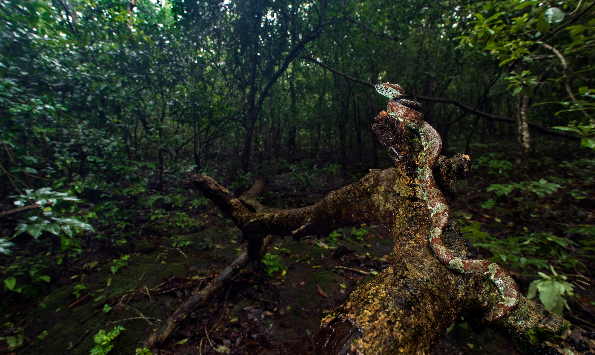 Vipers are largely divided into two categories: Old World vipers and pit vipers. This is a fine specimen of a Malabar pit viper, lazing on a decomposing tree trunk in the thick, lush forests of the Western Ghats, in Yana, Karnataka. Photo: Uday Hegde </br> Cover: A female Malabar pit viper, photographed in Wayanad, Kerala. Photo: Nirmal Kulkarni