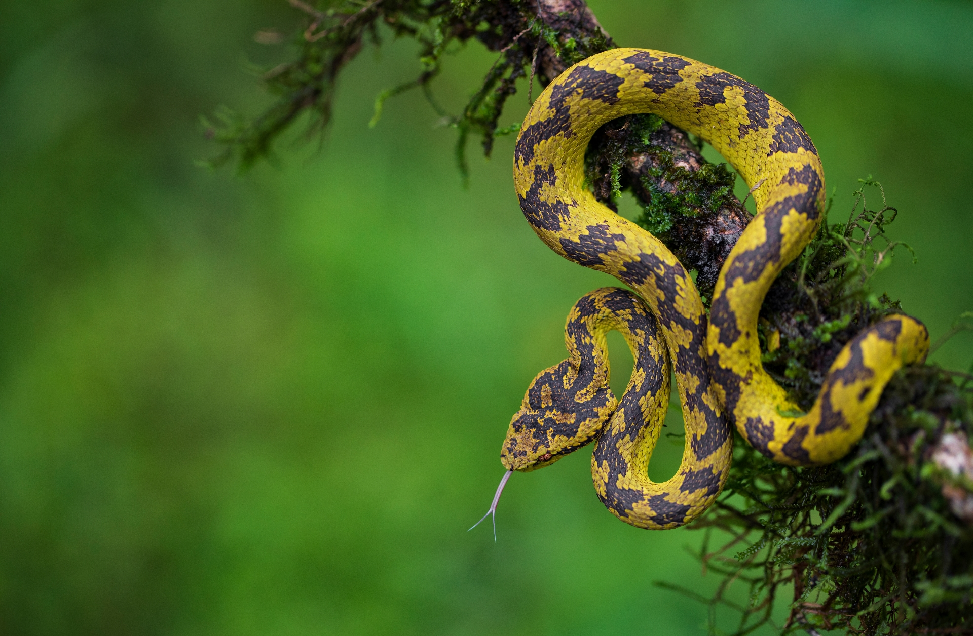 Malabar pit vipers are known to occur in many colour morphs. Green, brown, and a mix of green and brown are common, though yellow, orange, blue, even pink snakes have been photographed. This yellow viper was seen near Sirsi, Karnataka.  Photo: Uday Hegde