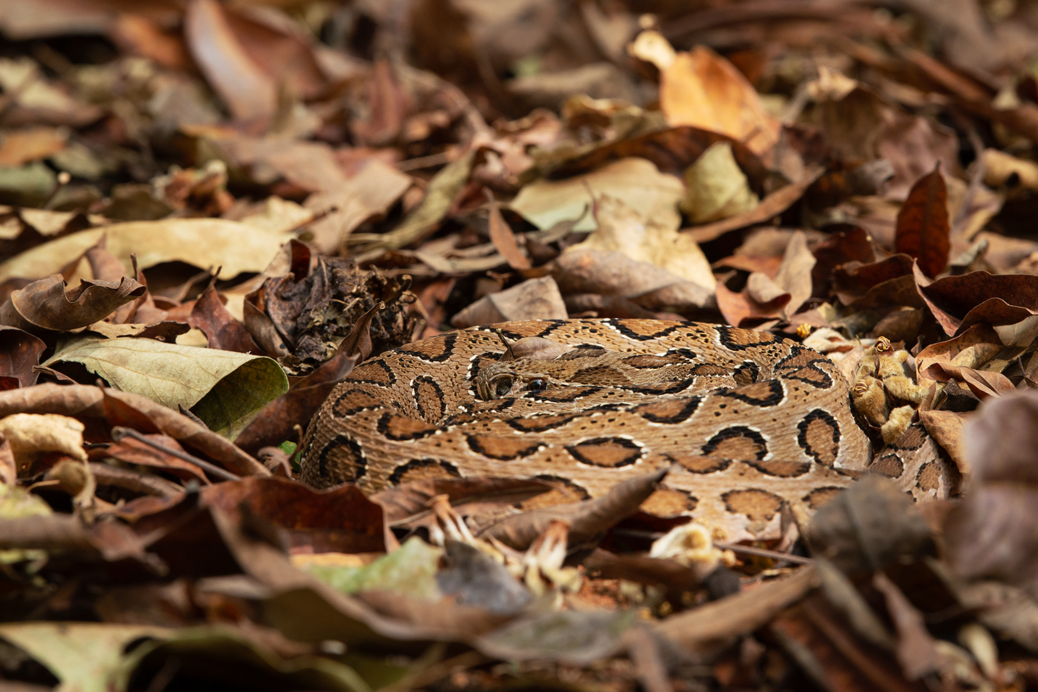 The Russell's viper is striking to behold, and best admired outside striking range. A member of the Big Four venomous snakes of India, it is found across the country and most of Southeast Asia. An Old World species, it does not have nasal pits, though recent studies indicate they do have heat-sensing abilities. Photo: Shreeram MV