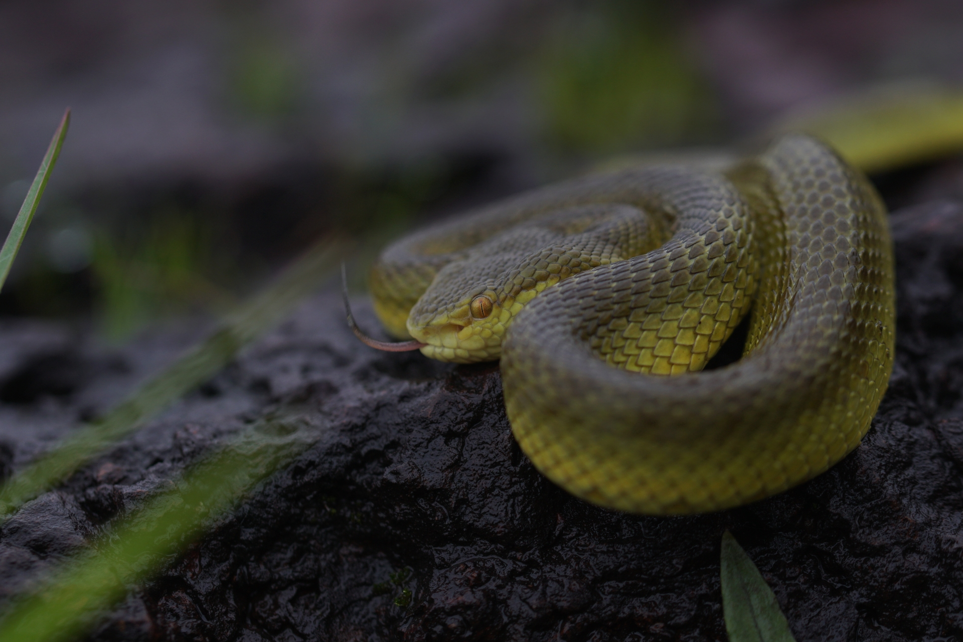Bamboo pit vipers are rather more innocuous vipers. Named after their alleged fondness for bamboo groves, these snakes are mostly tree-dwelling, but can be seen on the ground, especially near streams, coiled up on rocks. Photo: Omcar Pai