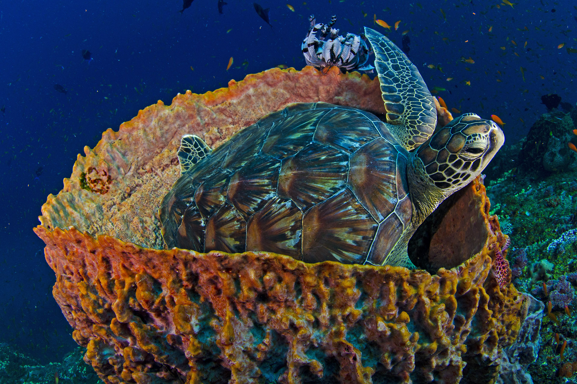 Dhritiman is also a keen scuba diver and has photographed the marine herpetofauna of the Andamans and Nicobar Islands, as well as its other inhabitants. This green sea turtle was photographed at a reef near Havelock. Photographing underwater comes with its own set of rules, but the most important one remains the same: Always put the animal first. Photo: Dhritiman Mukherjee