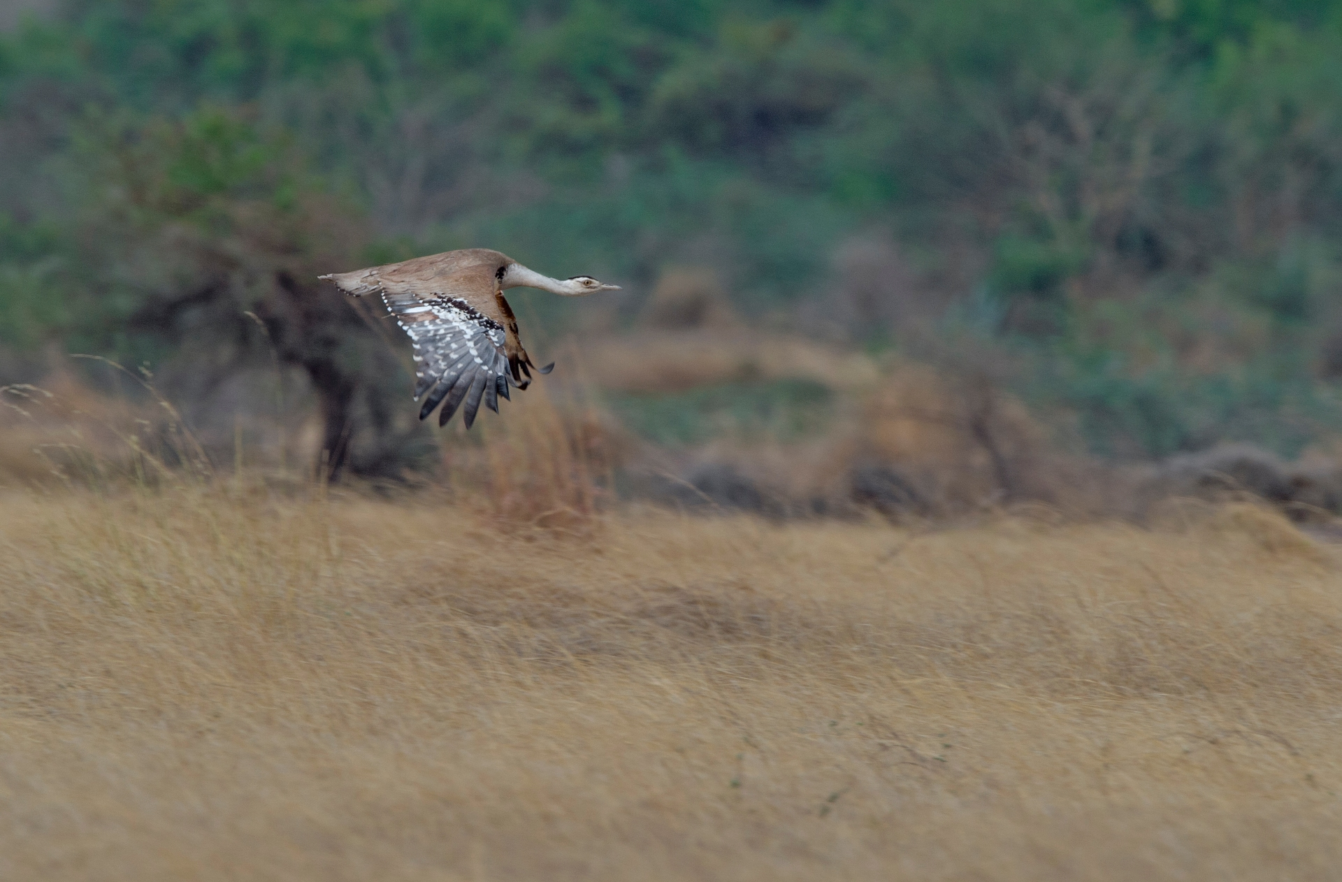 The heavily-built great Indian bustard is not an expert flier. It keeps low, and spends most of its time foraging in its grassland habitat. Photo: Dhritiman Mukherjee </br> Great Indian bustards are ostrich-like birds once found across Western India. Today, a small, endangered population exists mostly in Rajasthan, Gujarat, and Maharashtra. This bird was spotted in Nannaj, Maharashtra. Cover Photo: Dhritiman Mukherjee