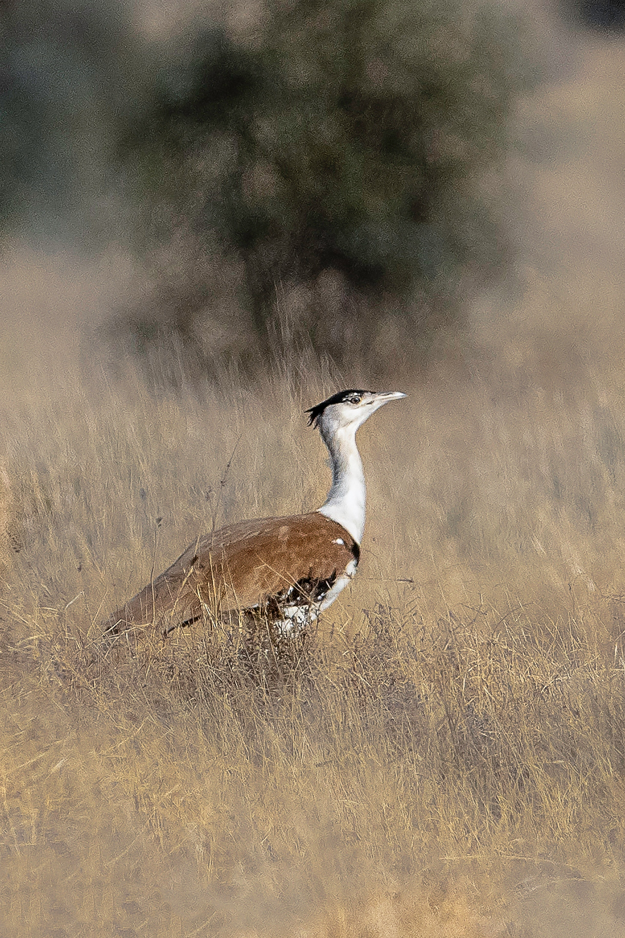 The great Indian bustard was once in the running to become the national bird of India, strongly supported by ornithologist Salim Ali. However, some accounts say the Indian peafowl won, mostly because the jurors were afraid the GIB's name could be easily misspelt. Photo: Aseem Kumar Kothiala