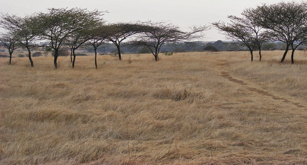 The Great Indian Bustard Sanctuary in Nannaj, Maharashtra, has wide swathes of open grasslands, with short grasses and sparsely scattered trees, ideal for the GIB. Photo: Dr. Raju Kasambe - CC BY-SA 3.0