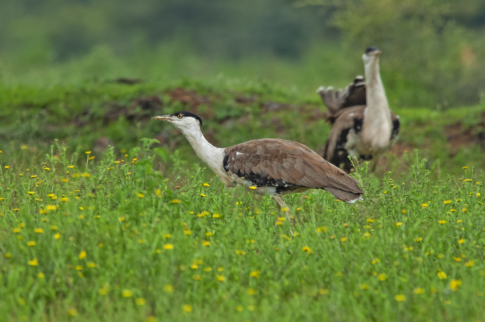 The summer and monsoon are mating seasons for great Indian bustards. Chicks are born around the monsoon, when insects, reptiles, and worms are in abundance and are easy food for the young ones. Photo: Dhritiman Mukherjee