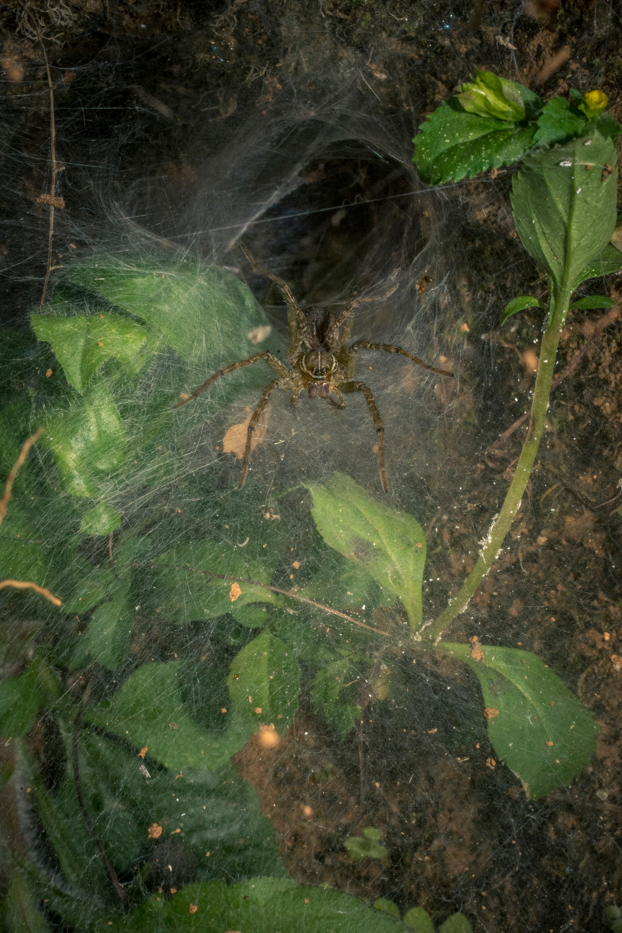 Some species of wolf spiders build funnel-shaped webs, to live in and to trap potential preys. Photo: Samuel John