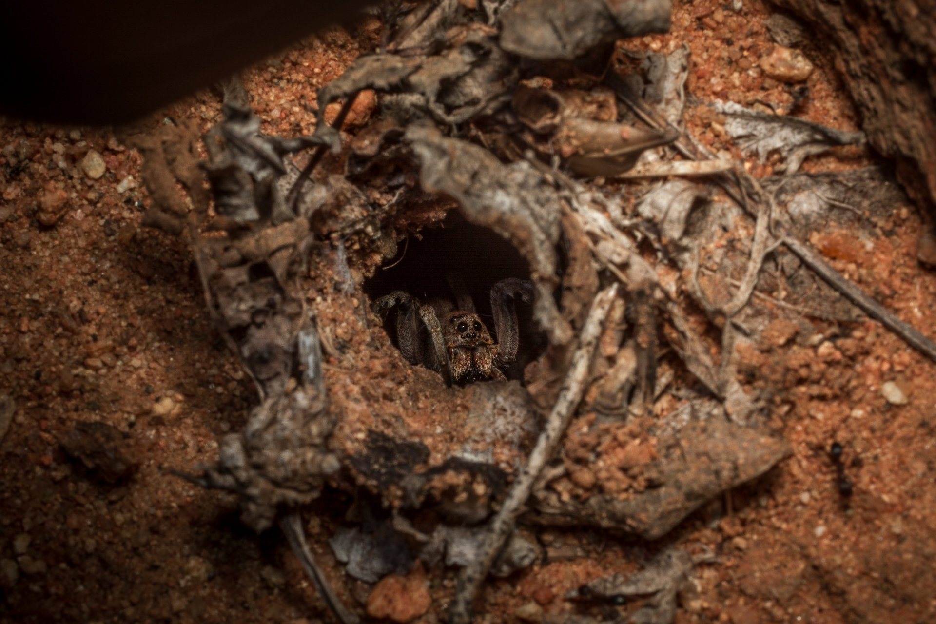 Wolf spiders can dig deep burrows that can be up to 25cm in length. They often wait at the mouth of the burrow for a prey to unwittingly pass by, so they can hunt it down. Photo: Samuel John