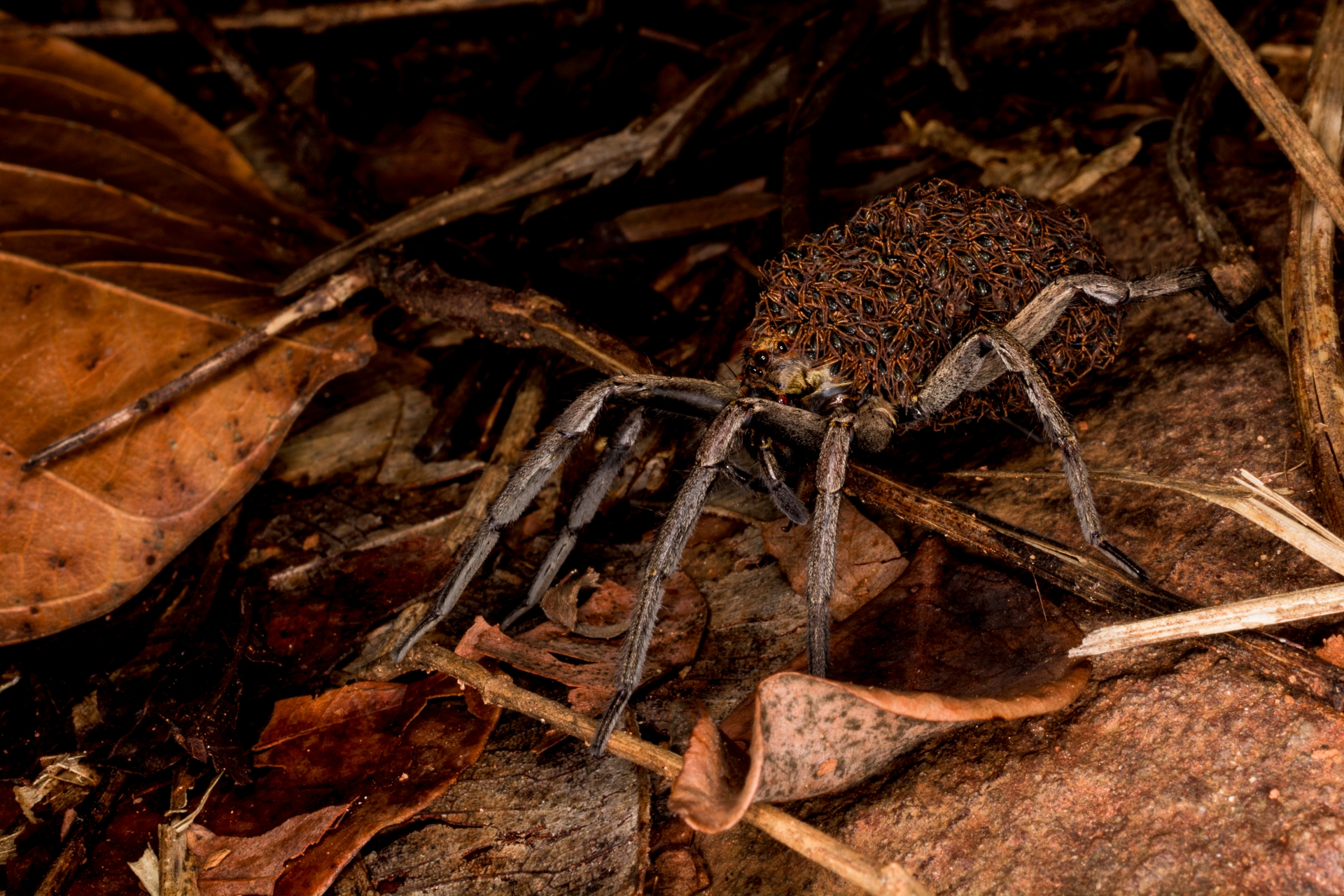 The author had the good fortune of spotting a mother wolf spider carrying hundreds of spiderlings on her back. Photo: Samuel John