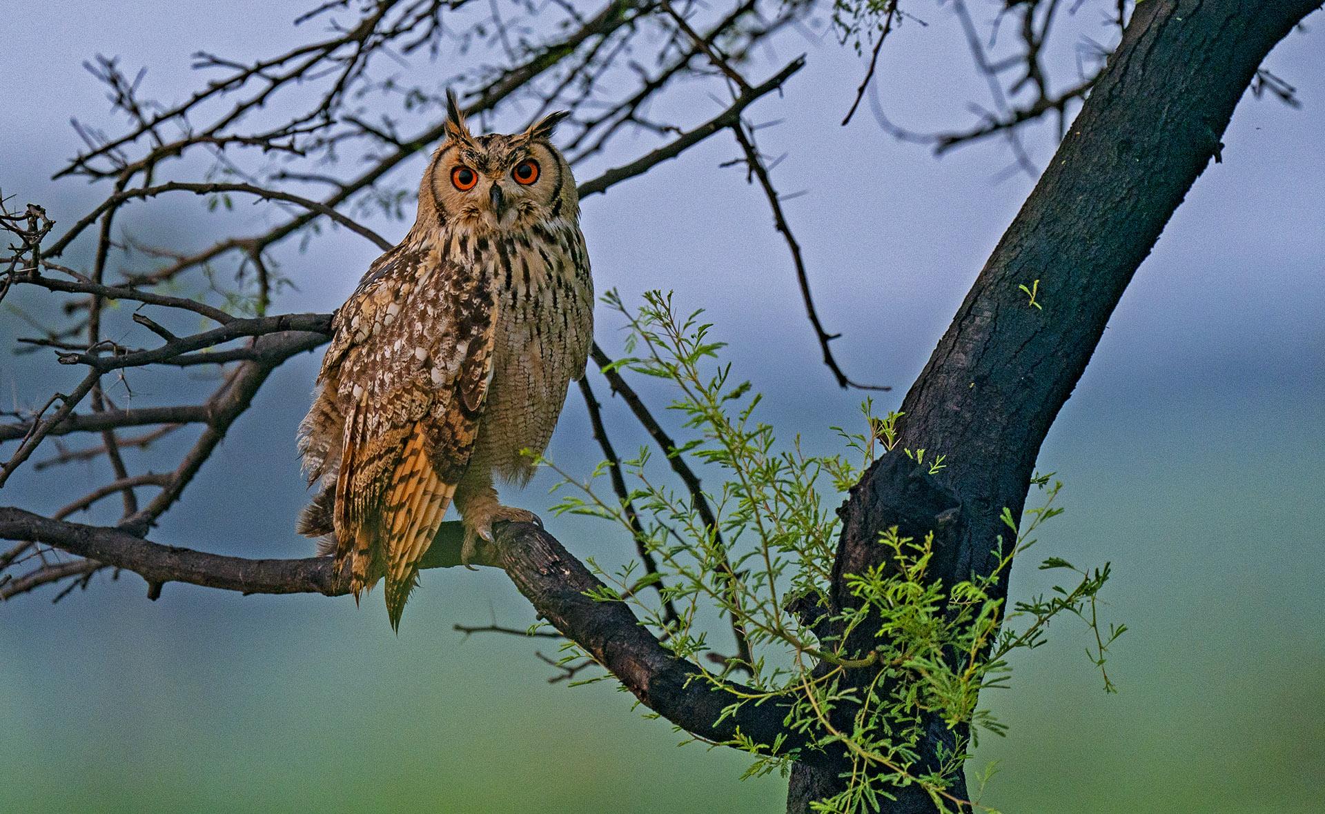 Rock eagle-owl is an aerial predator of the lesser florican. Photo: Dhritiman Mukherjee