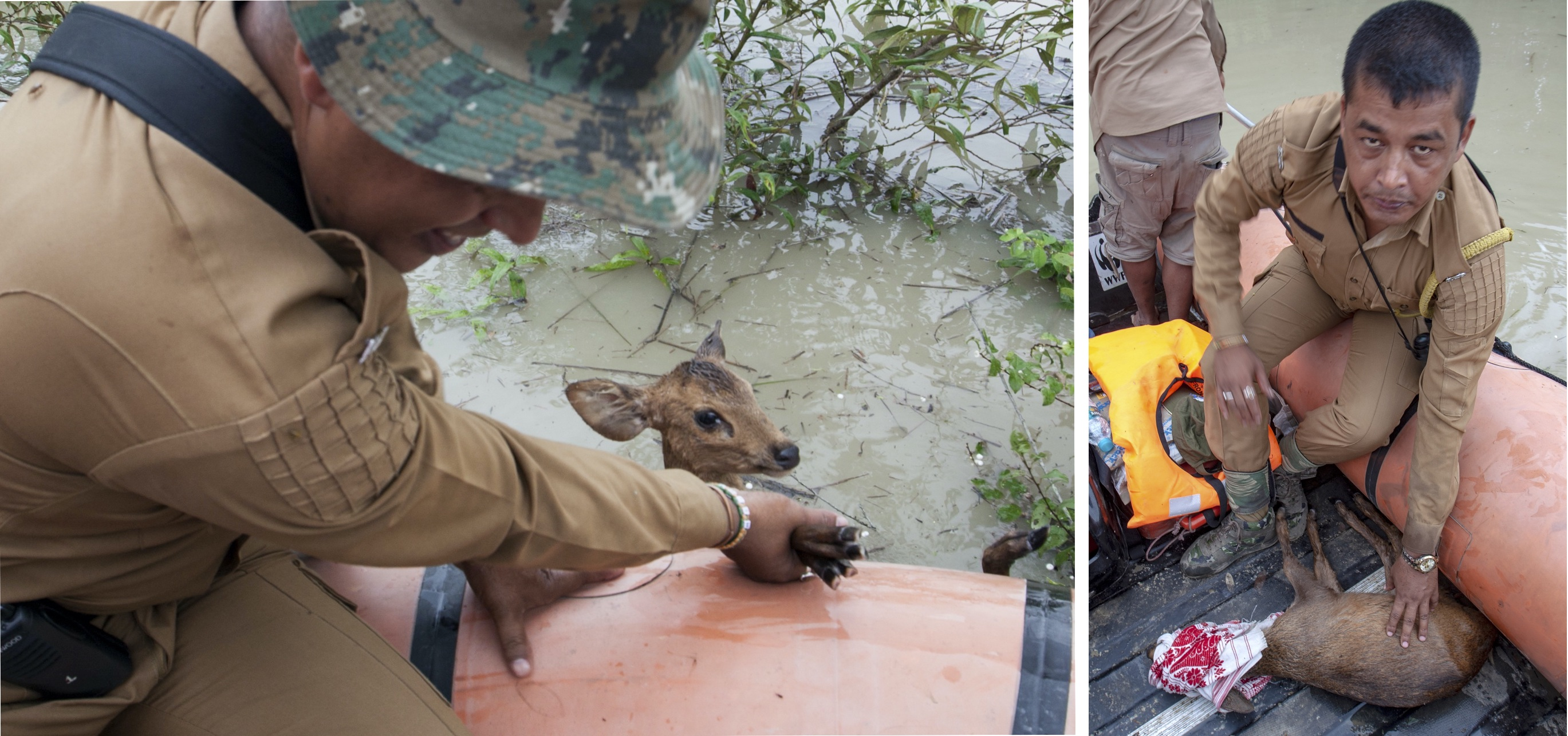 "The director of the park, a forest guard, and Dwivedi were patrolling the park on a narrow speedboat when they spotted a hog deer stuck in a thorny bush. As they approached it, the animal struggled violently. ""On a regular day, an animal will never allow us to come this close. It was both afraid of drowning, and the boat approaching it,"" says Dwivedi. The rescue team pulled out the hog deer and wrapped its head with a gamusa, a white and red traditional Assamese towel to keep it calm. Next, they rushed it to a rescue centre where it was treated and eventually released into the park. Hog deer suffered the biggest casualty during the flood — 282 died in the flood of 2017 and 14 were killed in road accidents."