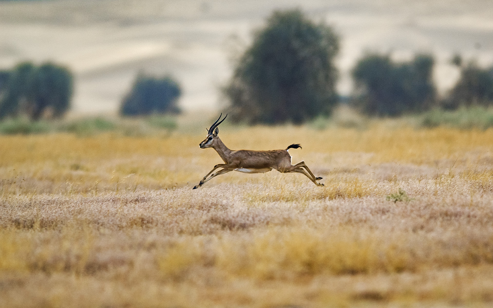When threatened, the agile and swift chinkara can run with bursts of leaps, sometimes with all four feet into the air, and quickly get away. Photo: Dhritiman Mukherjee
