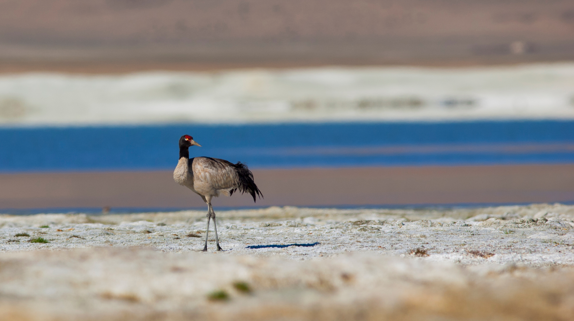 Tso Kar, a saline high-altitude lake, is the only known substantial breeding ground for the black-necked crane in India.  Tibetan sandgrouses (bottom) are large birds, with small pigeon-like heads, that forage in flocks on the ground. They are rarely found anywhere else in Asia, outside of Ladakh.