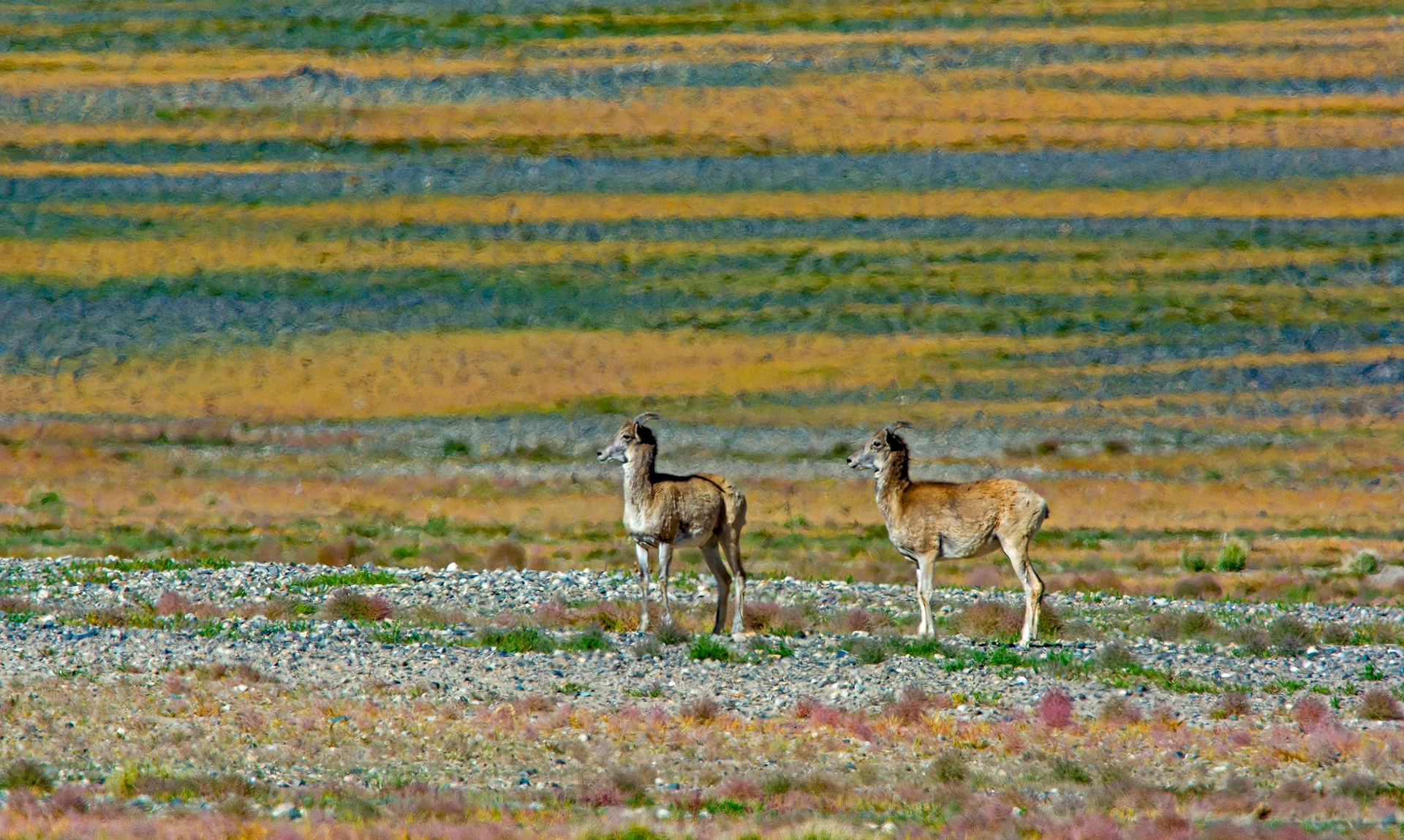 Only about 300-400 Tibetan argali, the largest of all wild sheep, remain in Ladakh, mostly in the eastern Changthang region.