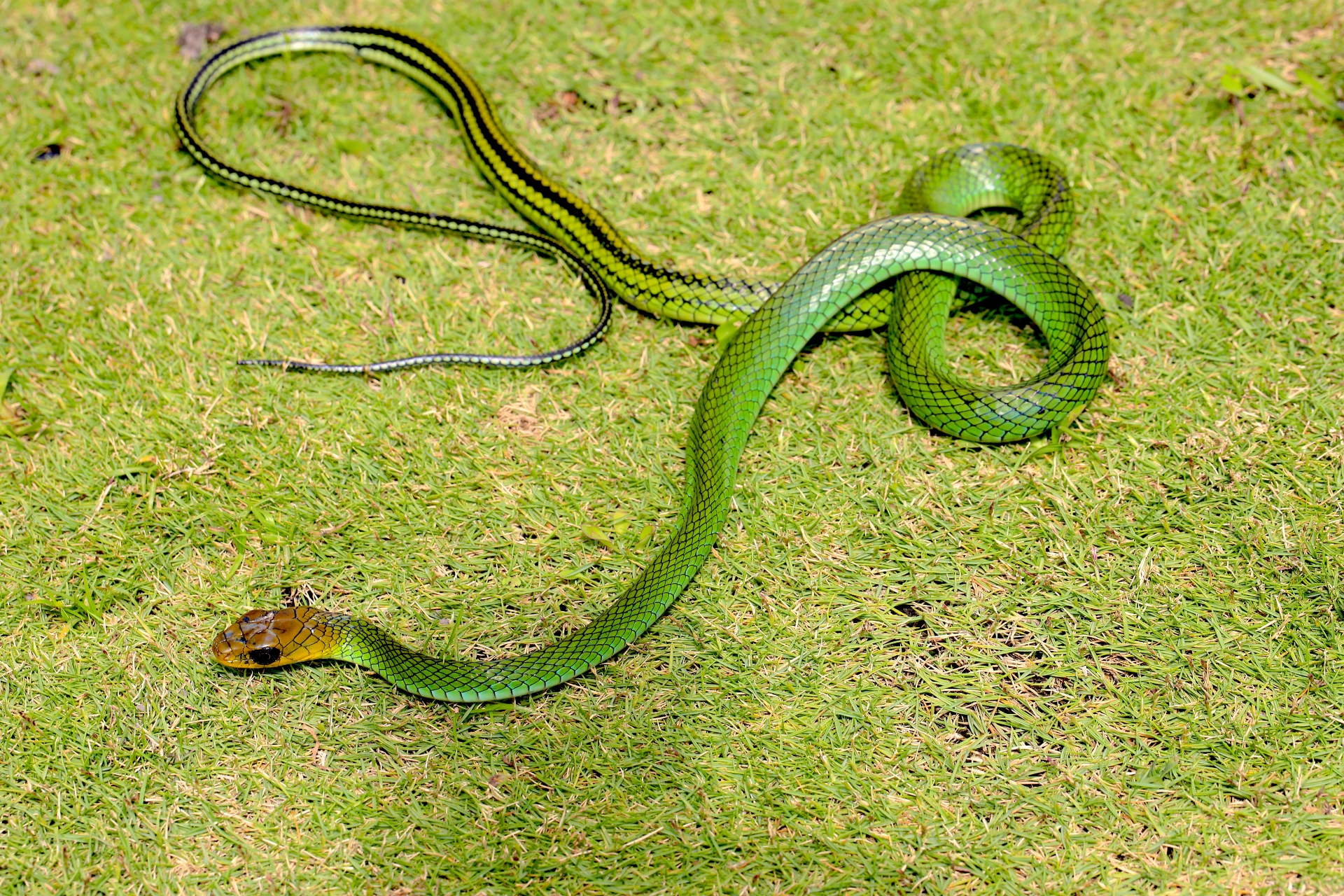 The green ratsnake is a non-venomous slender serpent that lives in trees. Though common it is extremely hard to spot amidst the dense, green foliage of the forest. 