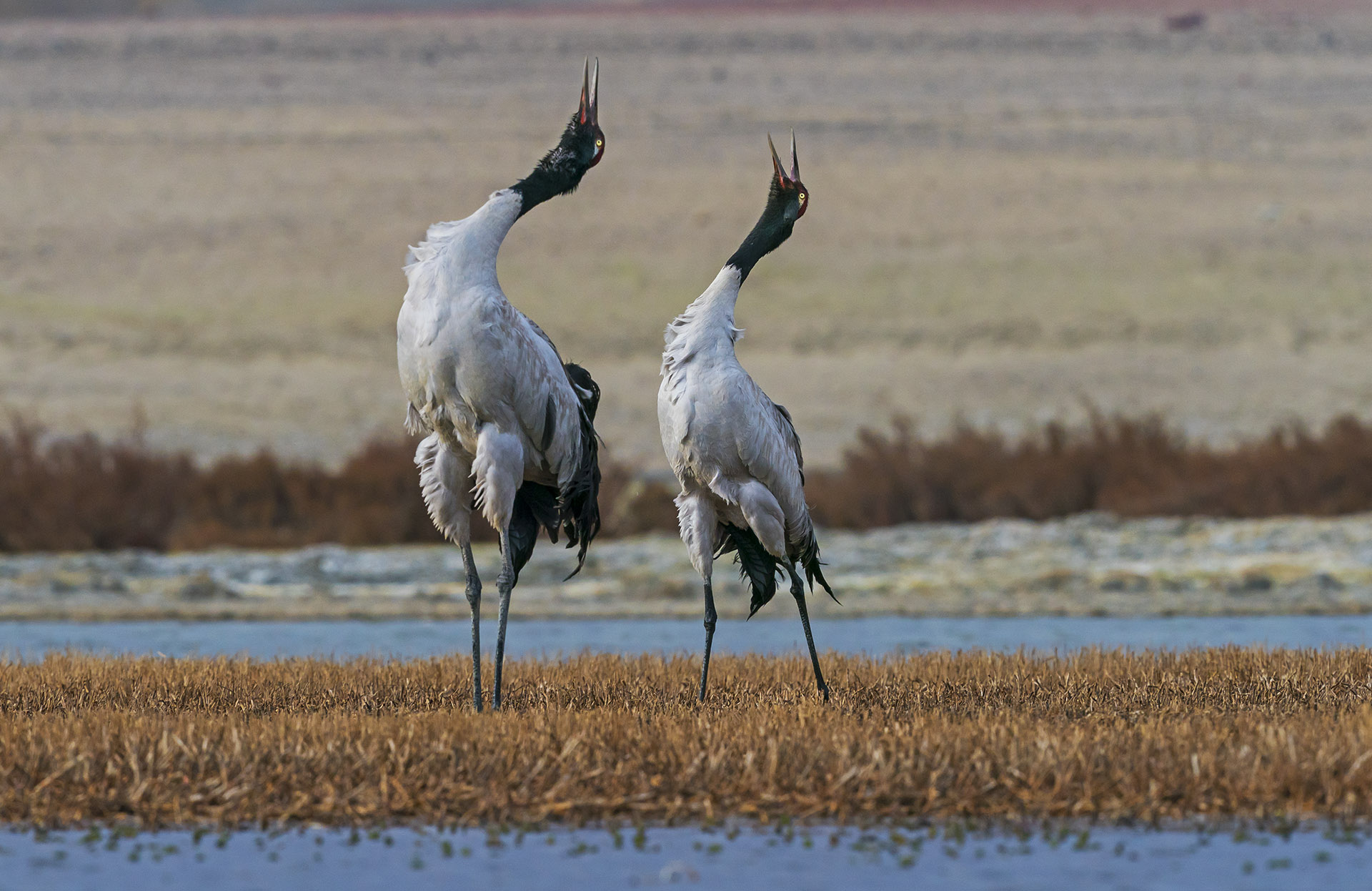 """Displays peak between 5.30 and 8 am, though the cranes do engage in courtship at other times of the day as well. In most cases, partners dance on grassy patches on the ground, or in the snow around wetlands. """"But never in the water,"""" says Dr Pankaj. Courtship and mating continues until late-April and May."""