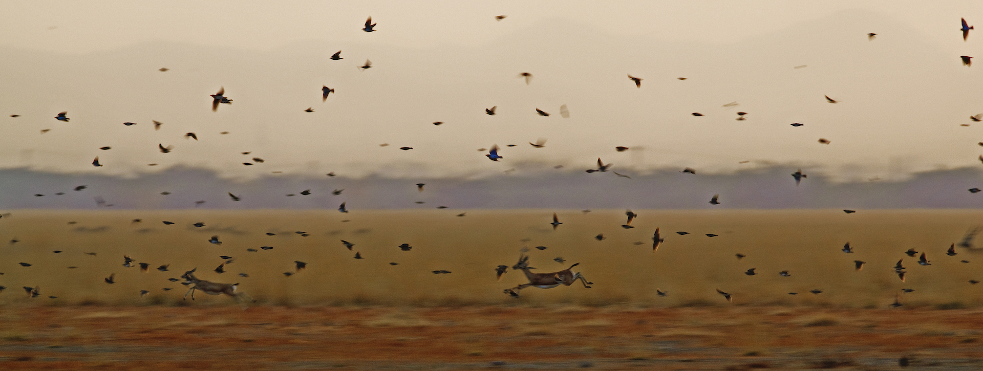 A flock of larks flies over sprinting blackbuck in Tal Chhapar at sunset. The sanctuary is a paradise for birdwatchers, that flock to the area to photograph migratory birds and raptors. Photo: Dhritiman Mukherjee