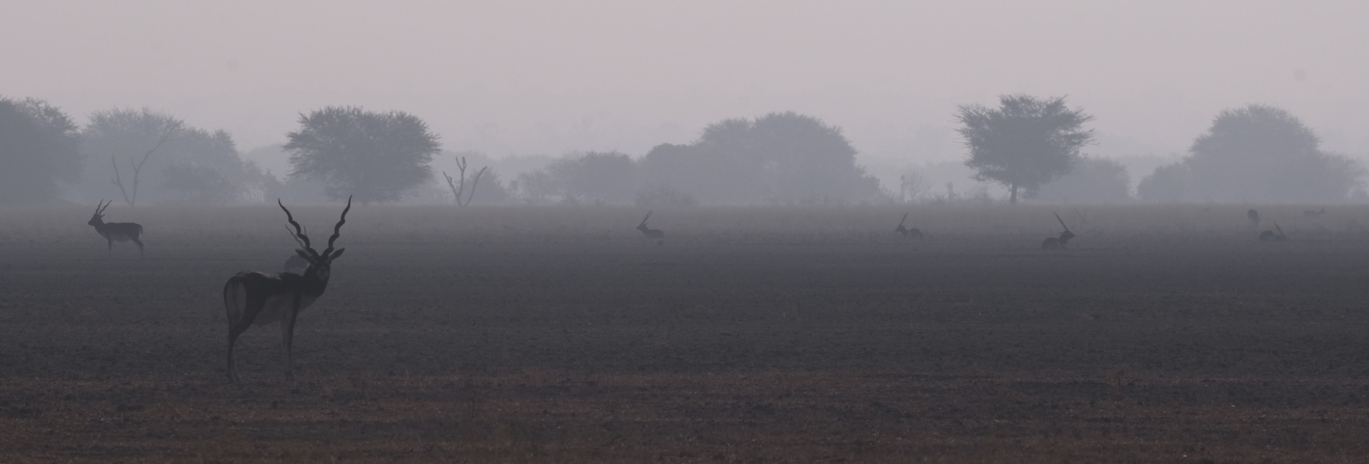 Declared a sanctuary in 1962,  the Tal Chhapar Wildlife Sanctuary is a vast, semi-arid grassland interspersed with very sparse vegetation. Photo: Dhritiman Mukherjee  The blackbuck is easily identified by its magnificent twisted, spiral V-shaped horns. Cover Photo: Dhritiman Mukherjee