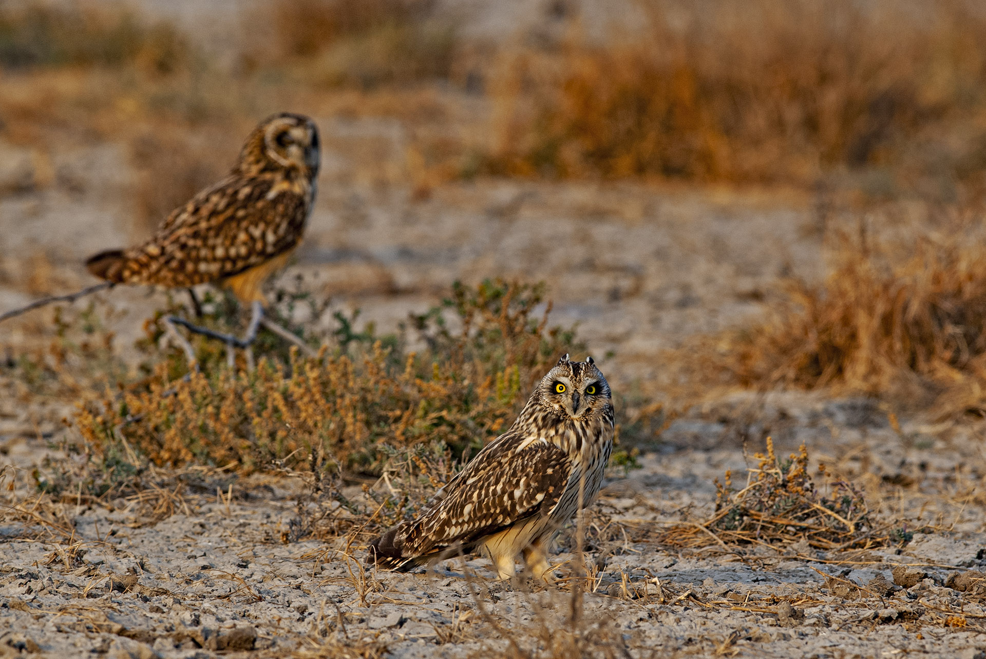 In the grasslands and arid scrublands of the Indian Wild Ass Sanctuary in Gujarat, short-eared owls primarily perch at ground level and may be seen alone or in pairs.