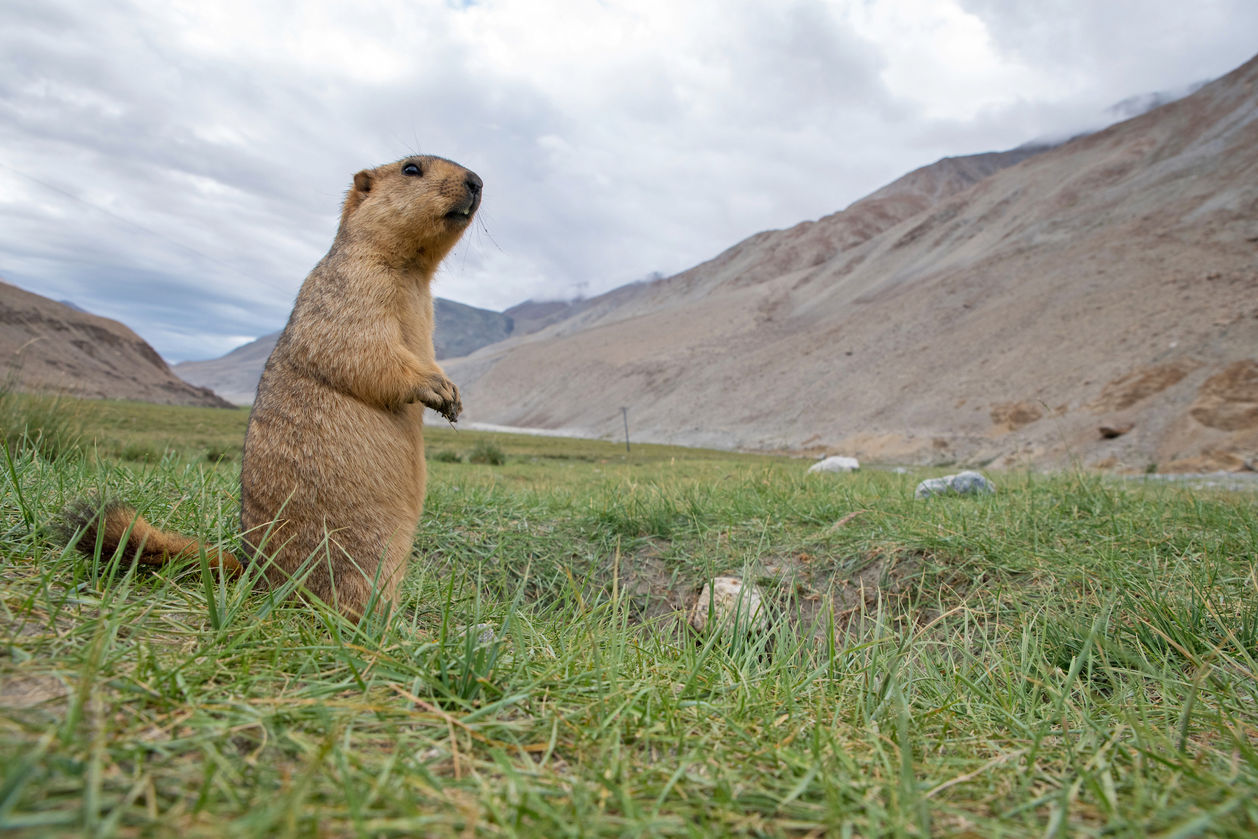 When they are outside their burrows, some marmots will be on high alert, scanning the area for predators. They stand on their hind legs for better visibility on the ready to warn others and run into a burrow. Photo: Saurabh Sawant </br> Himalayan marmots live in groups of up to 30 individuals, who communicate with each other using whistling and chirping sounds. Cover Photo: Surya Ramachandran