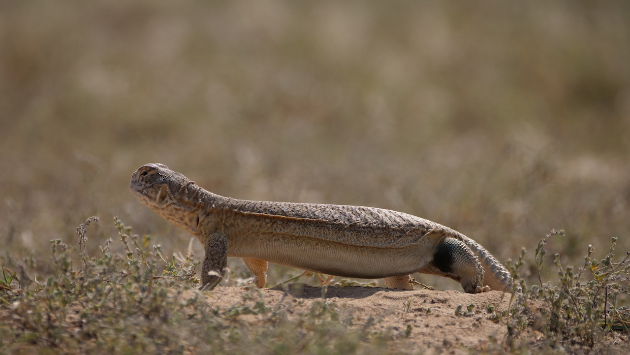 The spiny-tailed lizard has a stout body, and a fat tail that stores body fat, which the lizard depends on through long months of winter hibernation. Photo: Pradeep Hegde