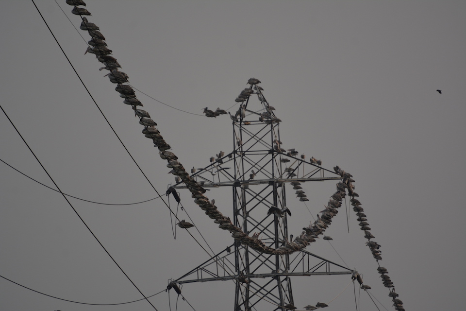 At dawn, hundreds of spot-billed pelicans congregate on the high tension cables within Pallikaranai.