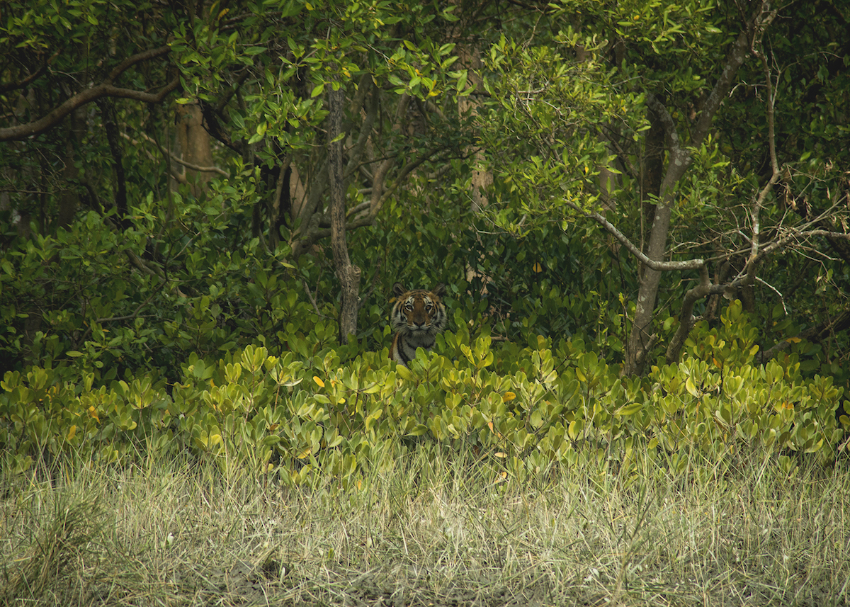 The Sundarbans is the only coastal, mangrove habitat in the world that has a healthy population of the Bengal tiger. According to a 2015 census, about 103 tigers live in the Indian Sundarbans. Photo: Santanu Paul - CC BY-SA 4.0 