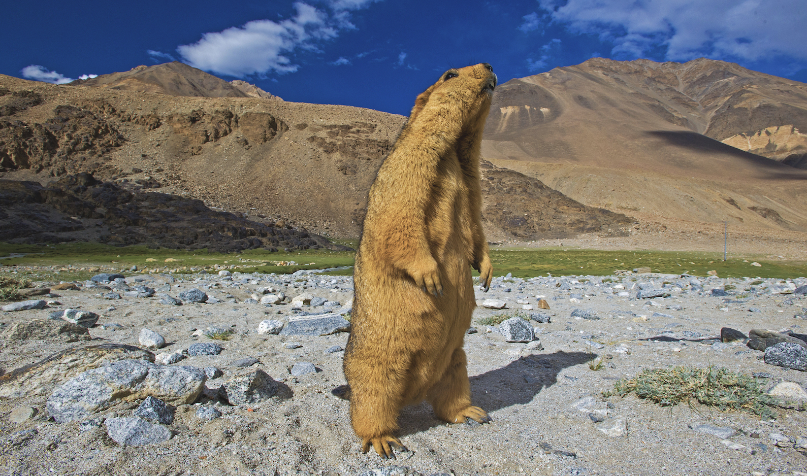 "When they aren't hibernating, marmots emerge from their burrows when the sun is out. ""The first thing they do is defecate,"" says Rajamani, ""then eat, and socialise, though the order is flexible."" When the intensity of the sun increases, marmots return to their burrows, surfacing once more in the evening hours. They spend much of their time play-wrestling. Photo: Dhritiman Mukherjee  Two species of marmot are found in India: the long-tailed marmot (Marmota caudata) and the Himalayan marmot (Marmota himalayana), pictured here. In India, Himalayan marmots are found in Ladakh, Himachal Pradesh, Uttarakhand, Arunachal Pradesh, and Sikkim. Cover photo: Dhritiman Mukherjee"
