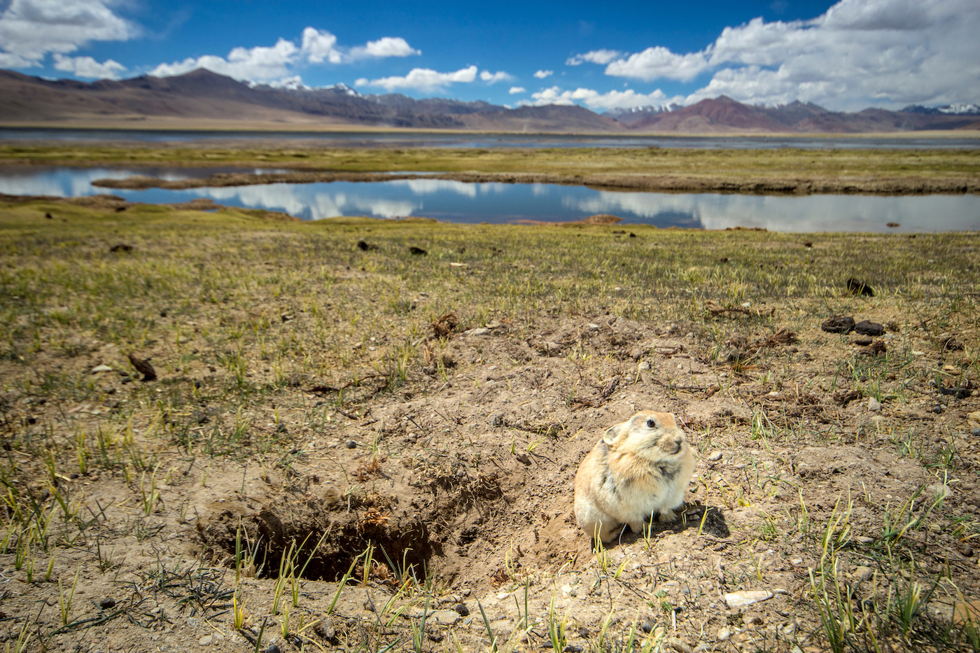 The Ladakh pika is a social animal that lives in family groups in burrows with multiple entrances. It is extremely alert and will scurry away into its burrow at the slightest sign of danger. Photo: Saurabh Sawant