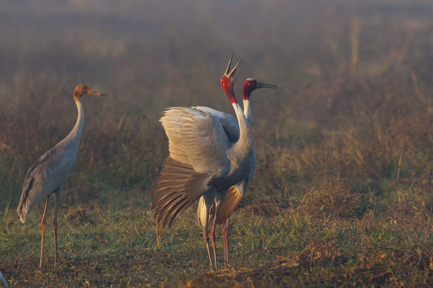 Top: At just over five feet in height, the sarus crane is the tallest flying bird in the world. It looks even taller when it stretches its neck, spreads its wings, and emit loud, shrill trumpeting calls.  Above: Sarus cranes are known to live comfortably around human populations. In Uttar Pradesh, they are seen living in open, cultivated fields as well as local marshlands and ponds.  Cover Photo: The sarus crane (Antigone antigone) is easily recognised by the naked, blood-red patch on its neck and head, and beautiful grey plumage. The bare red skin turns brighter during the breeding season that falls during the heavy monsoons.