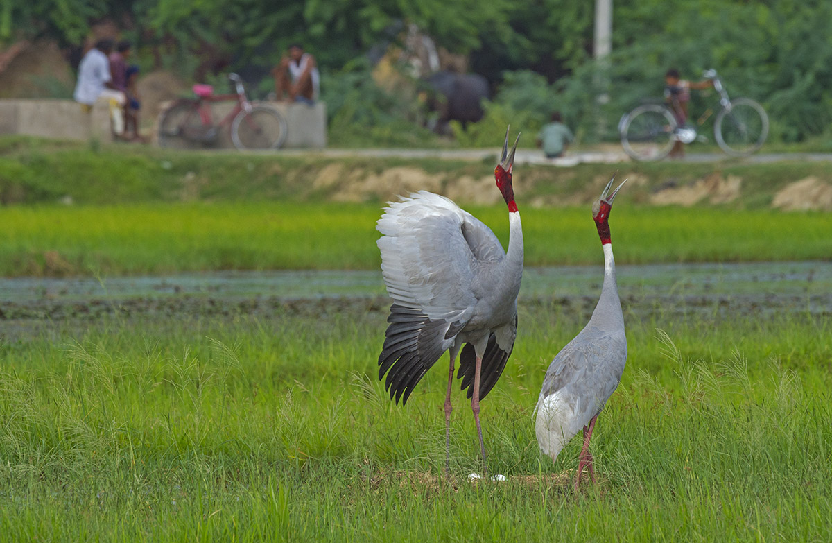 he sarus crane (Antigone antigone) is easily recognised by the naked, blood-red patch on its neck and head, and beautiful grey plumage.
