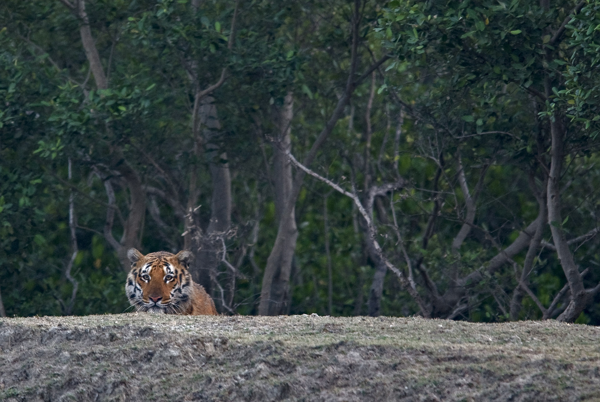 The Bengal tiger is the Sundarban's apex predator. The mangrove forests are one of the largest remaining continuous habitats of the tiger in the world. A little over 100 tigers survive in the Indian part of the Sundarbans.